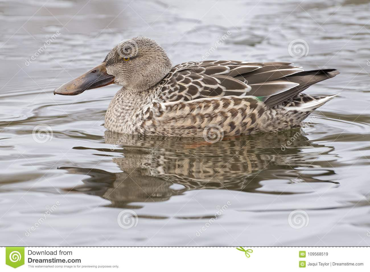 A female shoveler duck
