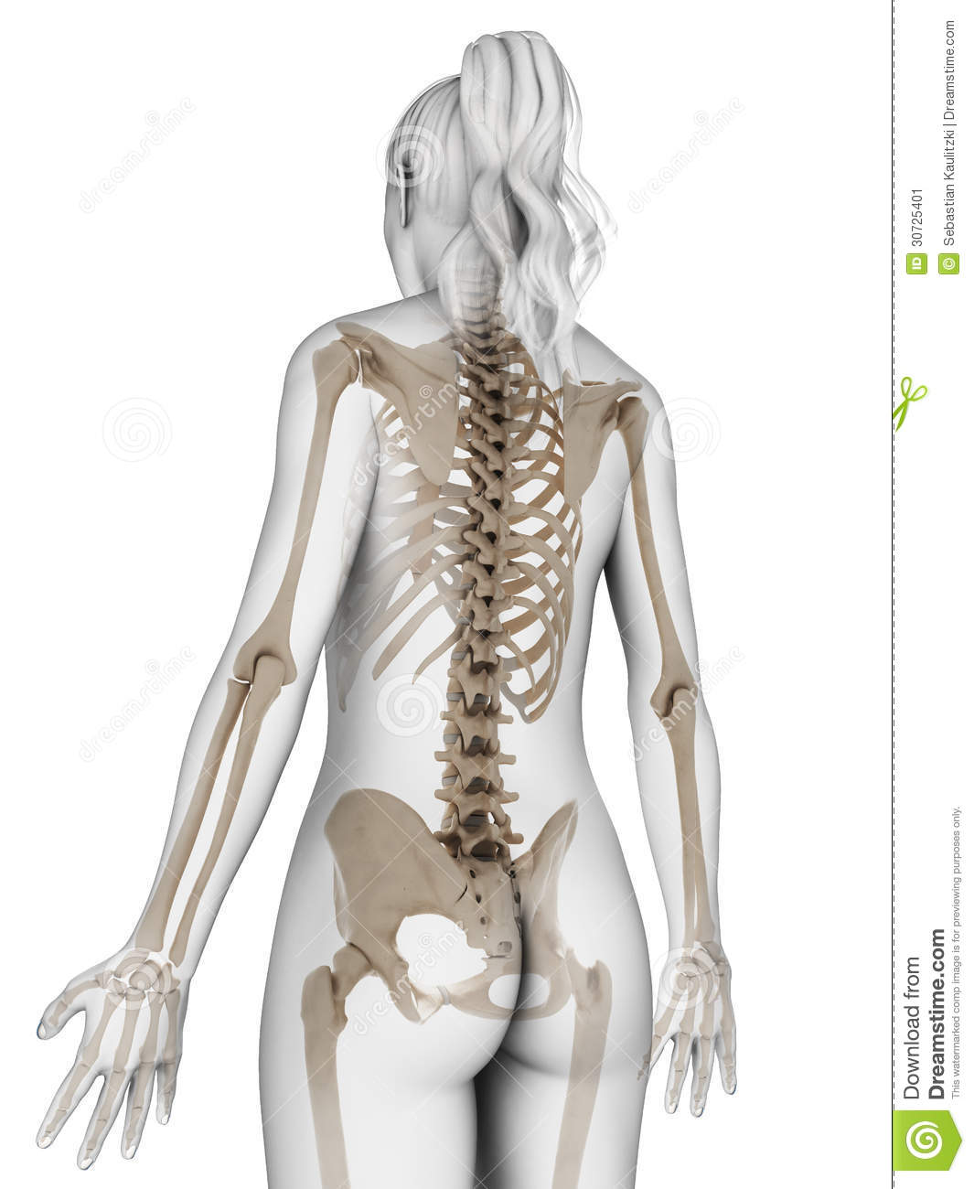 3d rendered illustration of the female skeleton.
