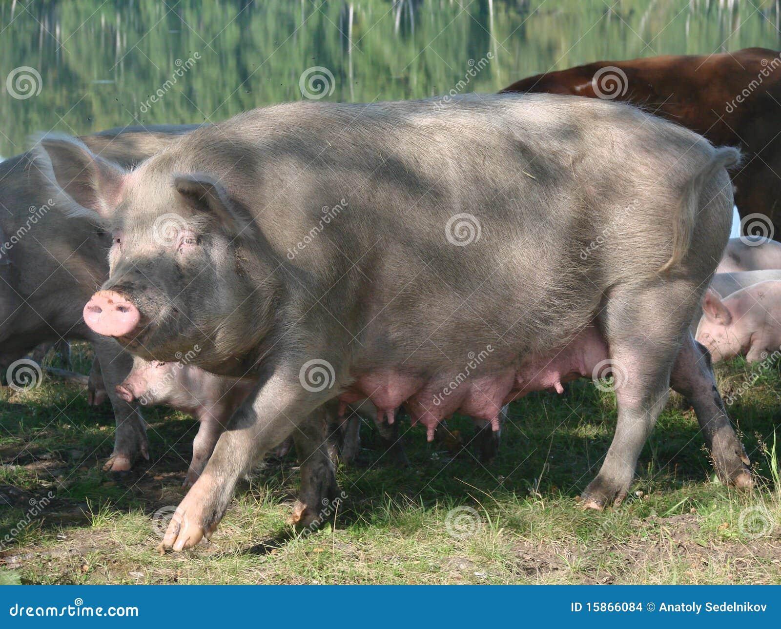 Female sow pig