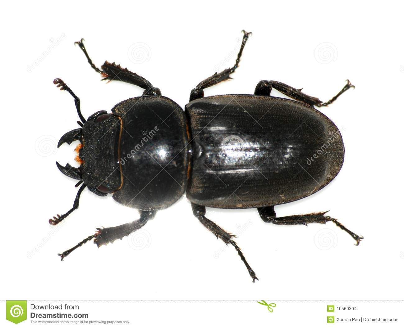 Female stag beetle stock photo. Image of deformed, biting ...