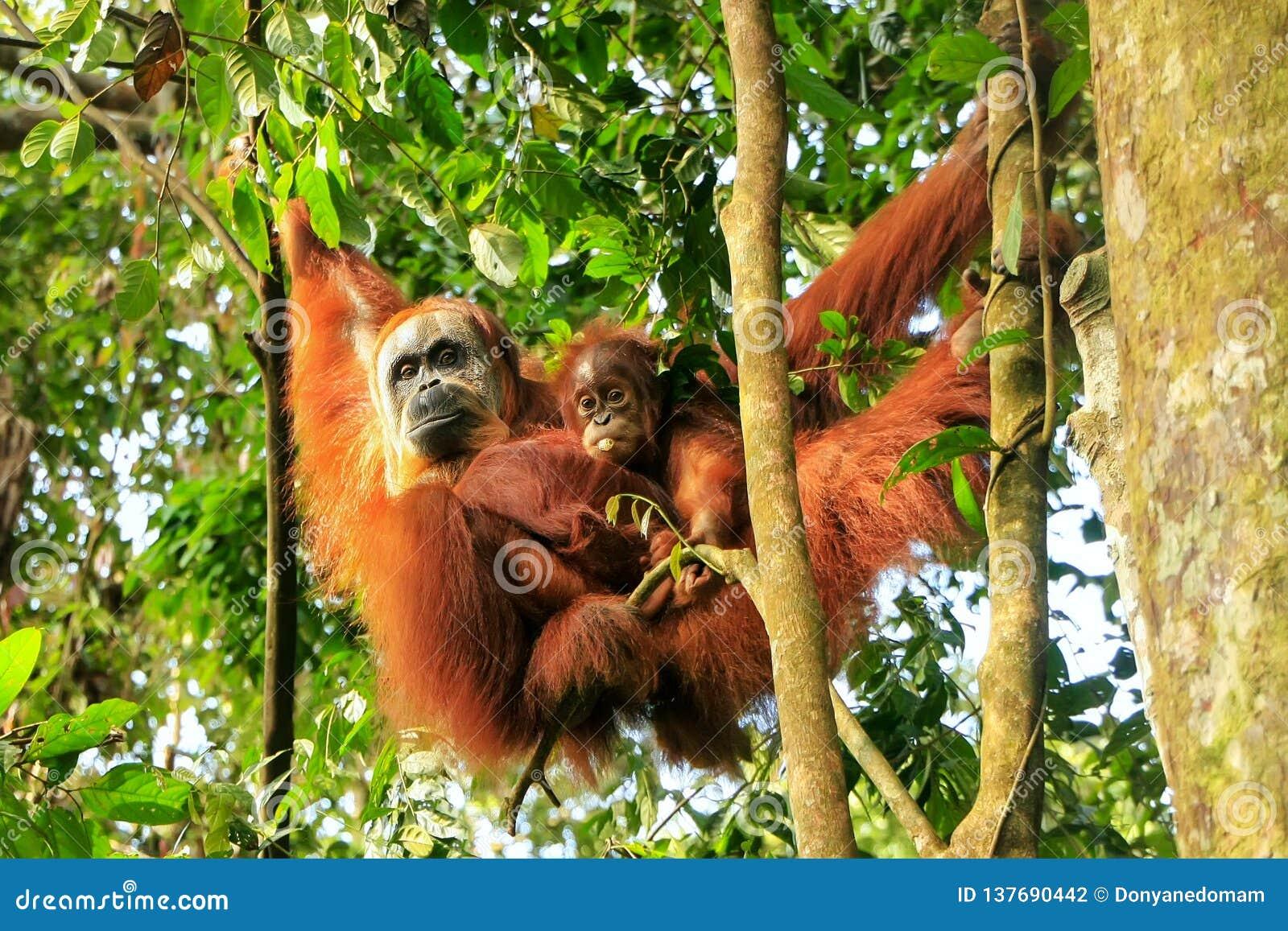 Close Up Of Orangutan In The Park Stock Photo - Image of