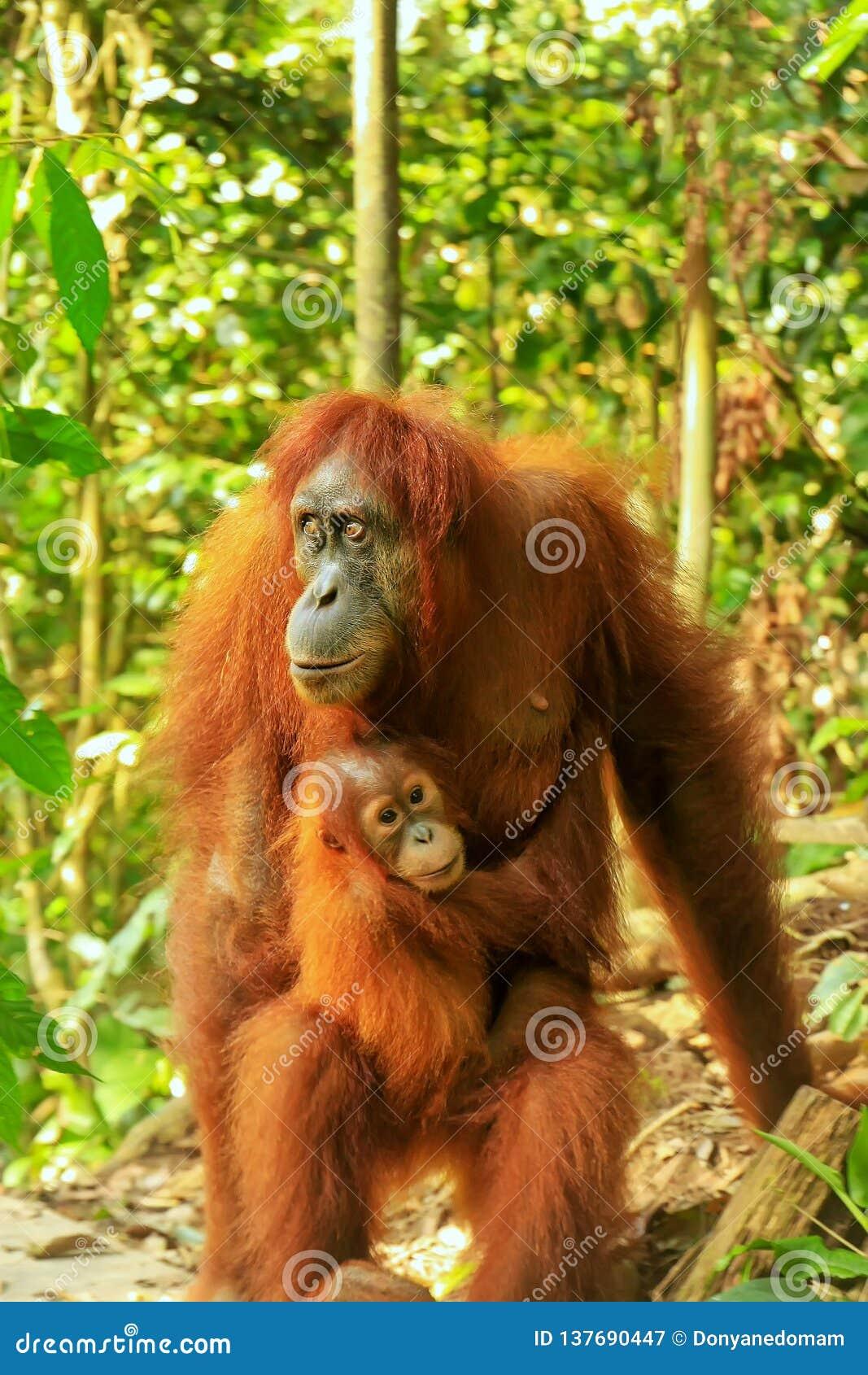 Orangutan Standing Near Tree And Chews A Banana (Bohorok