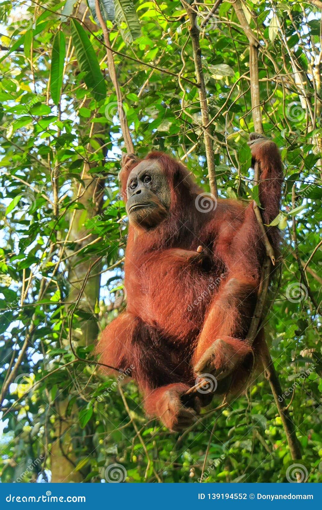Orangutan standing stock photo. Image of brown, kalimantan