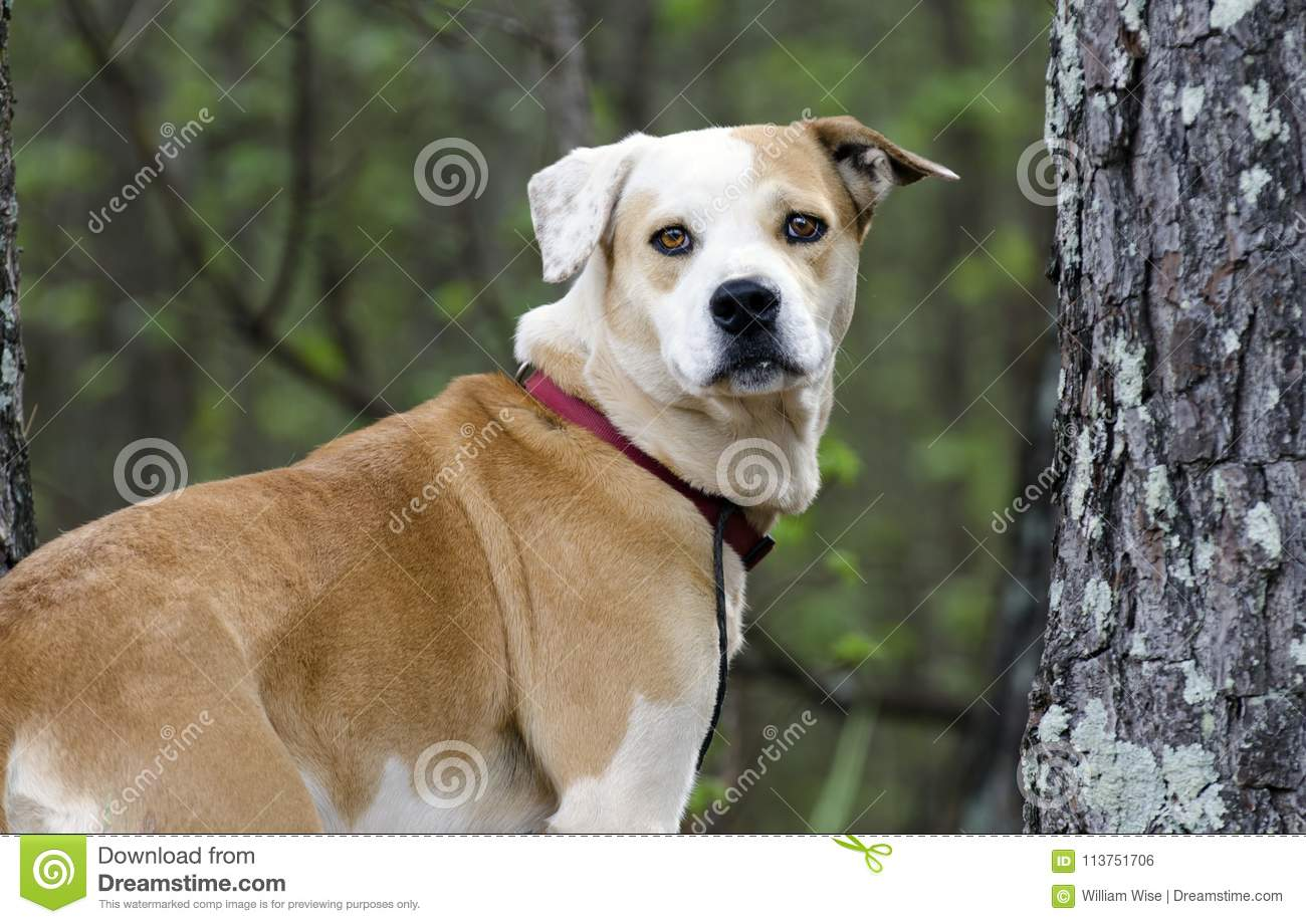 Lab Bulldog mixed breed dog with red collar, pet adoption photography