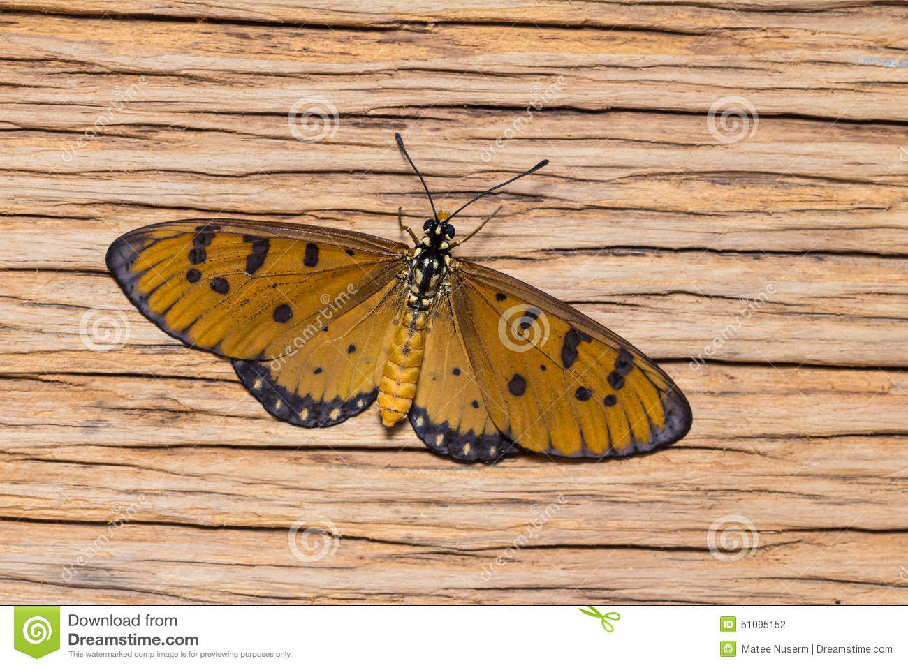 Female tawny coster butterfly