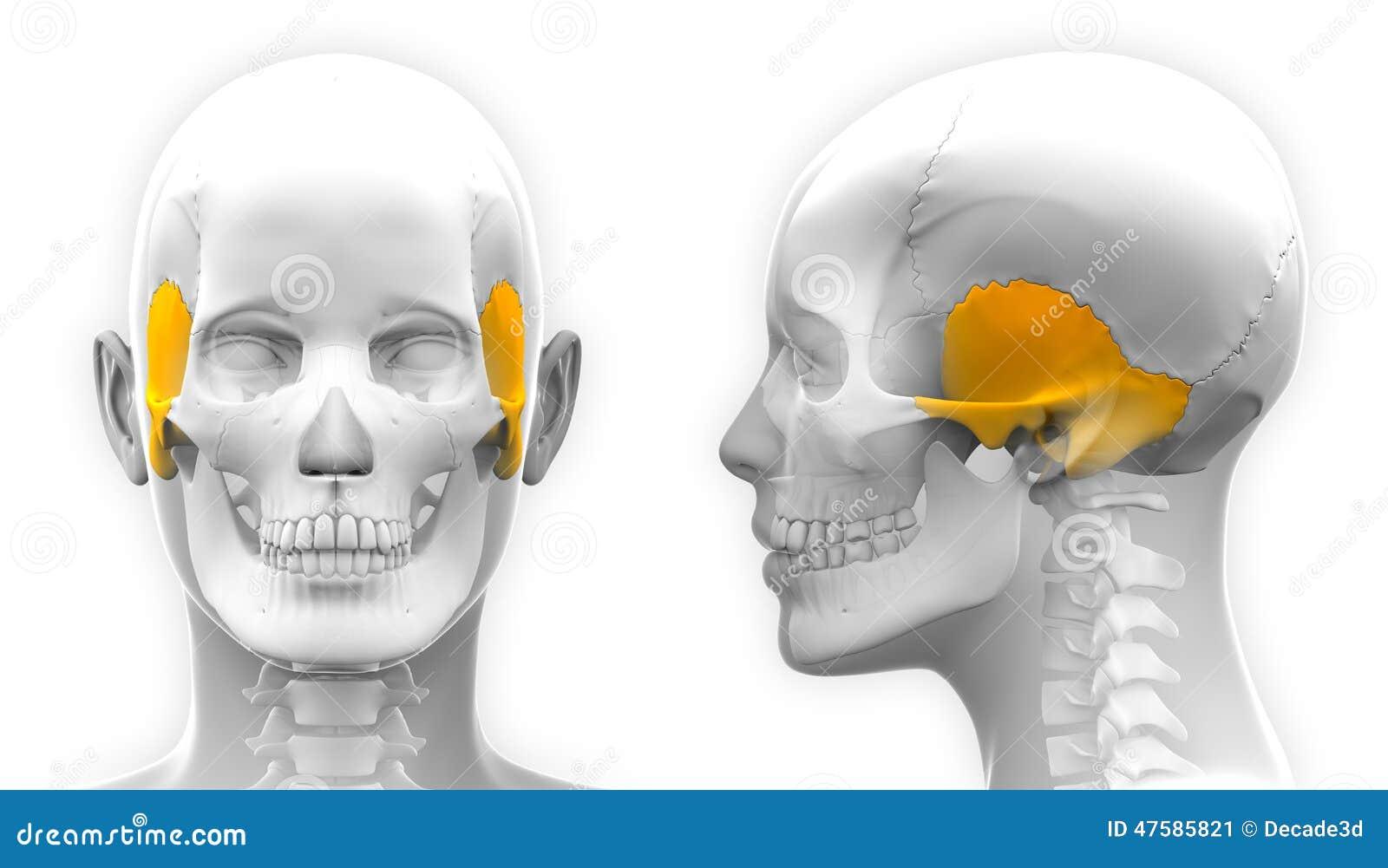 Female Temporal Bone Skull Anatomy - Isolated On White Stock ...