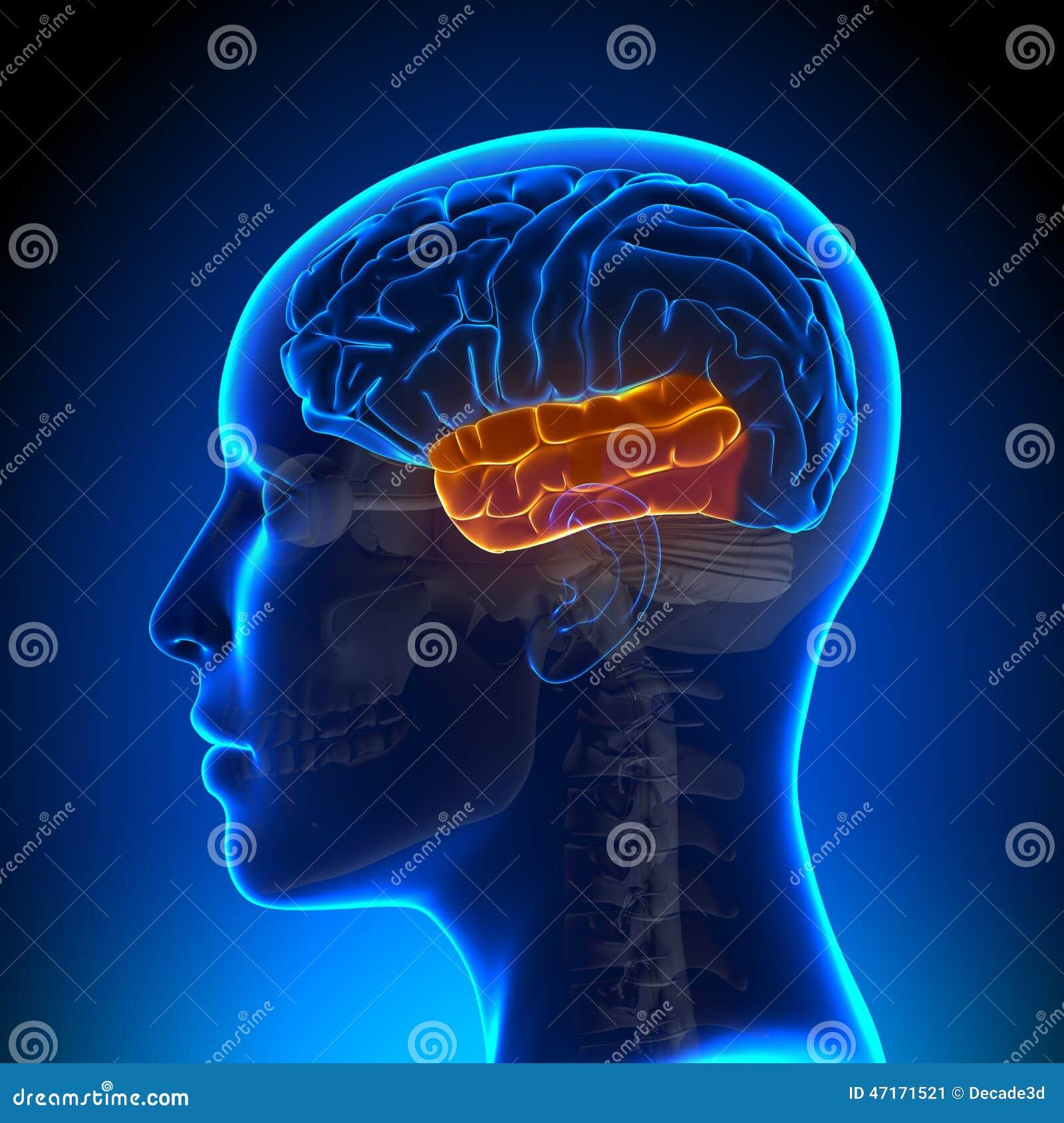 Female Temporal Lobe - Anatomy Brain Stock Illustration ...