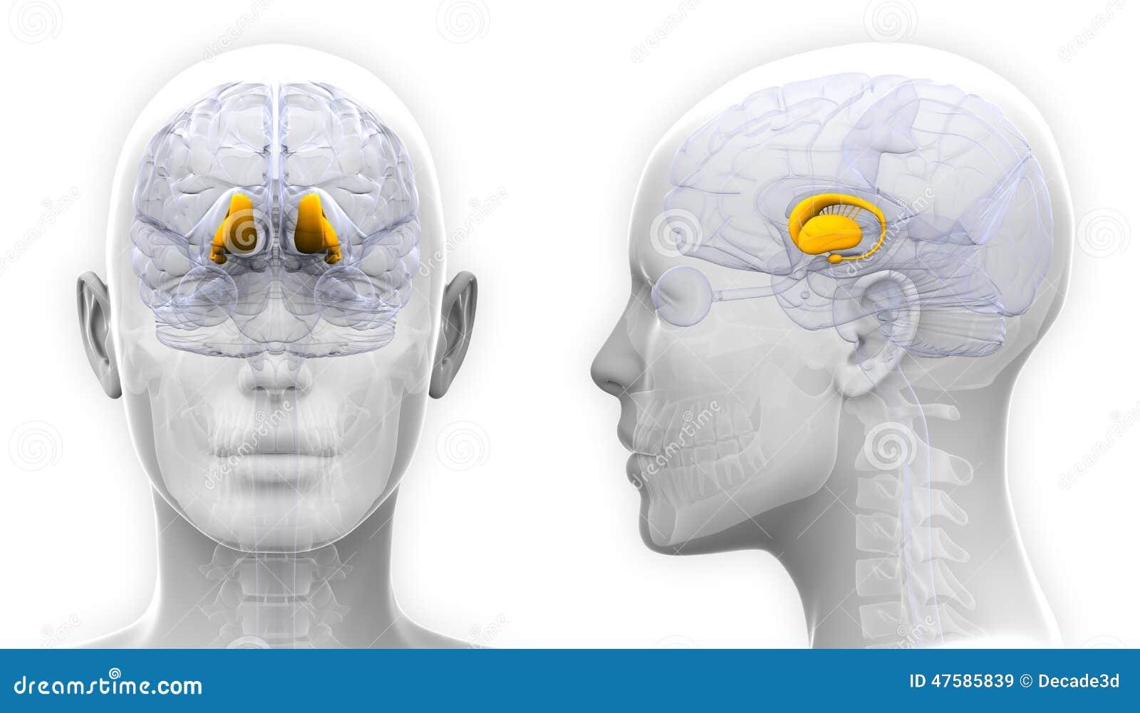 Female Thalamus Brain Anatomy Isolated On White Stock Illustration