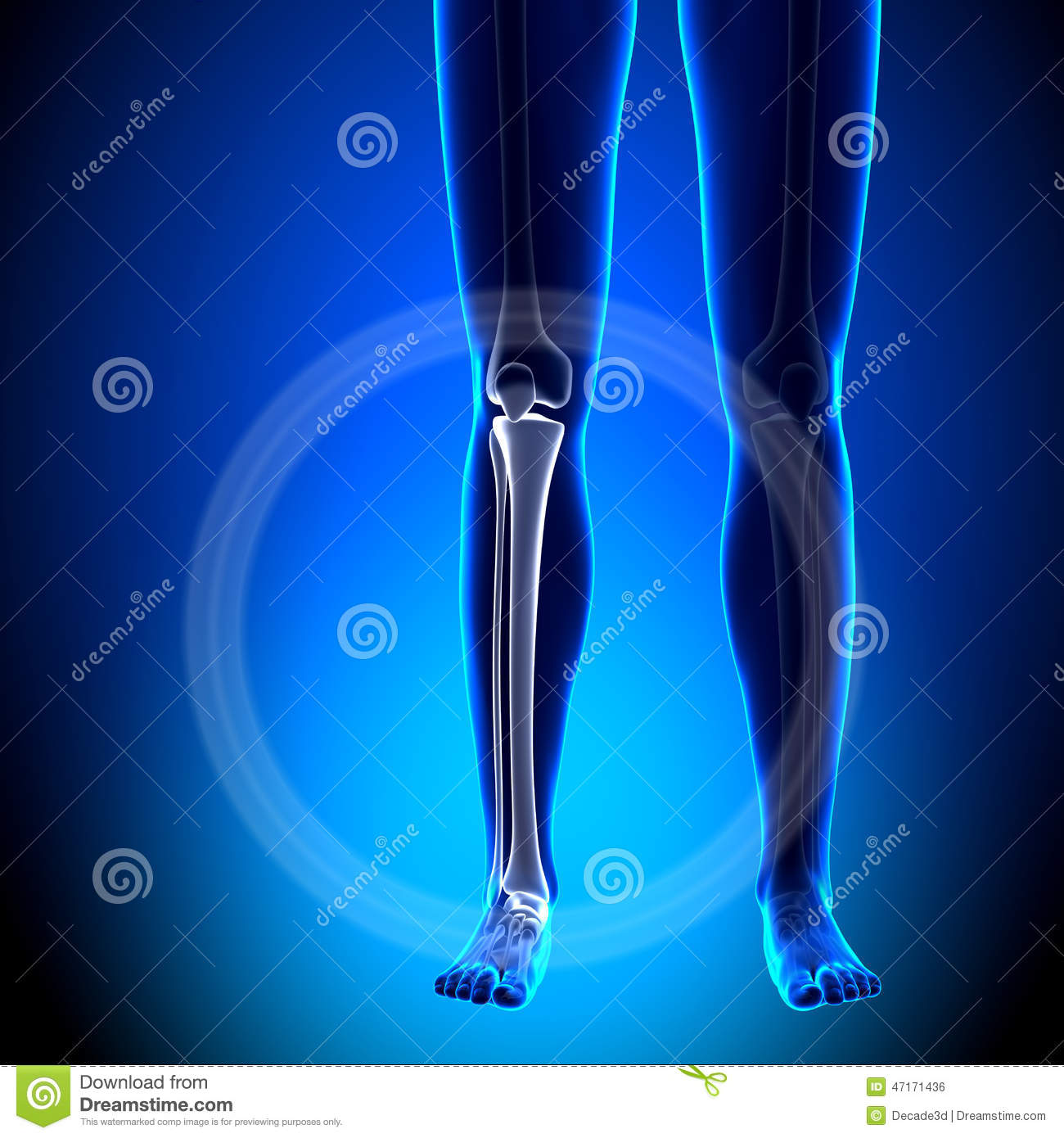 Female Tibia / Fibula - Anatomy Bones Stock Illustration ...