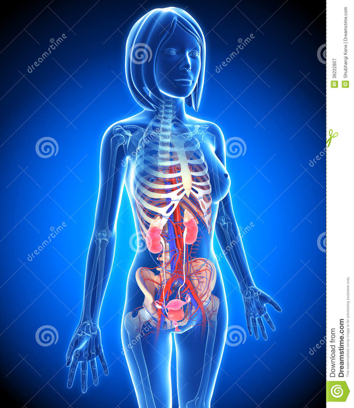 Female Urinary System In Blue X Ray Loop Stock Illustration