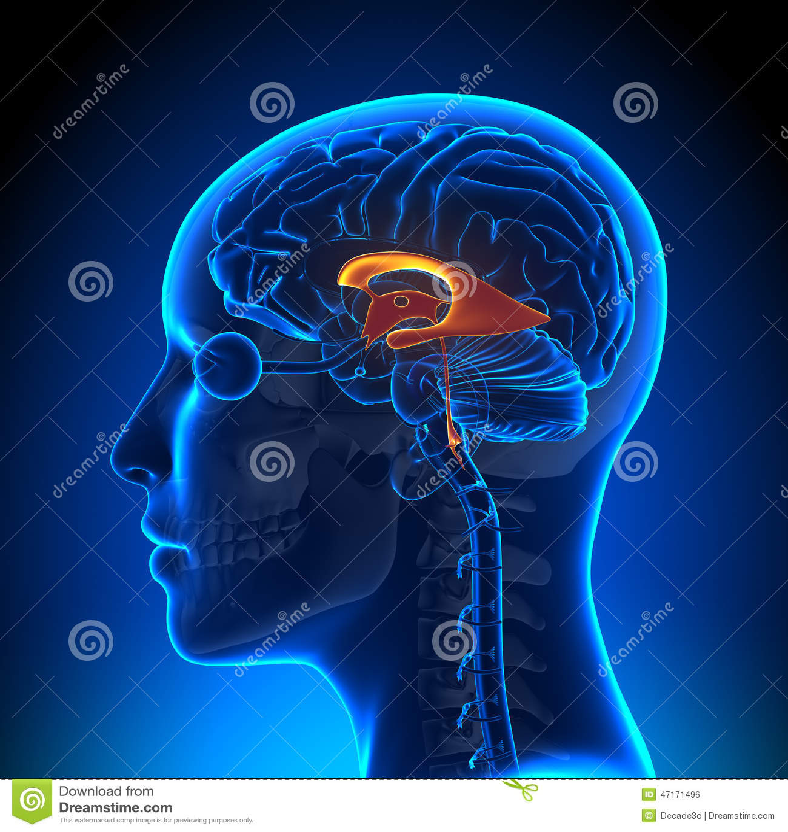 Female Ventricles - Anatomy Brain Stock Illustration - Illustration ...