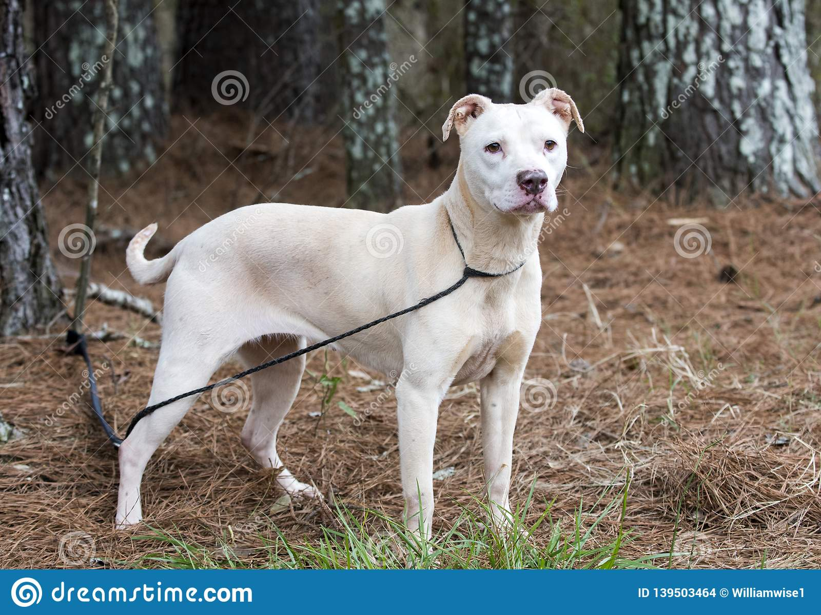Female White American Pitbull Terrier Stock Photo - Image of pointy