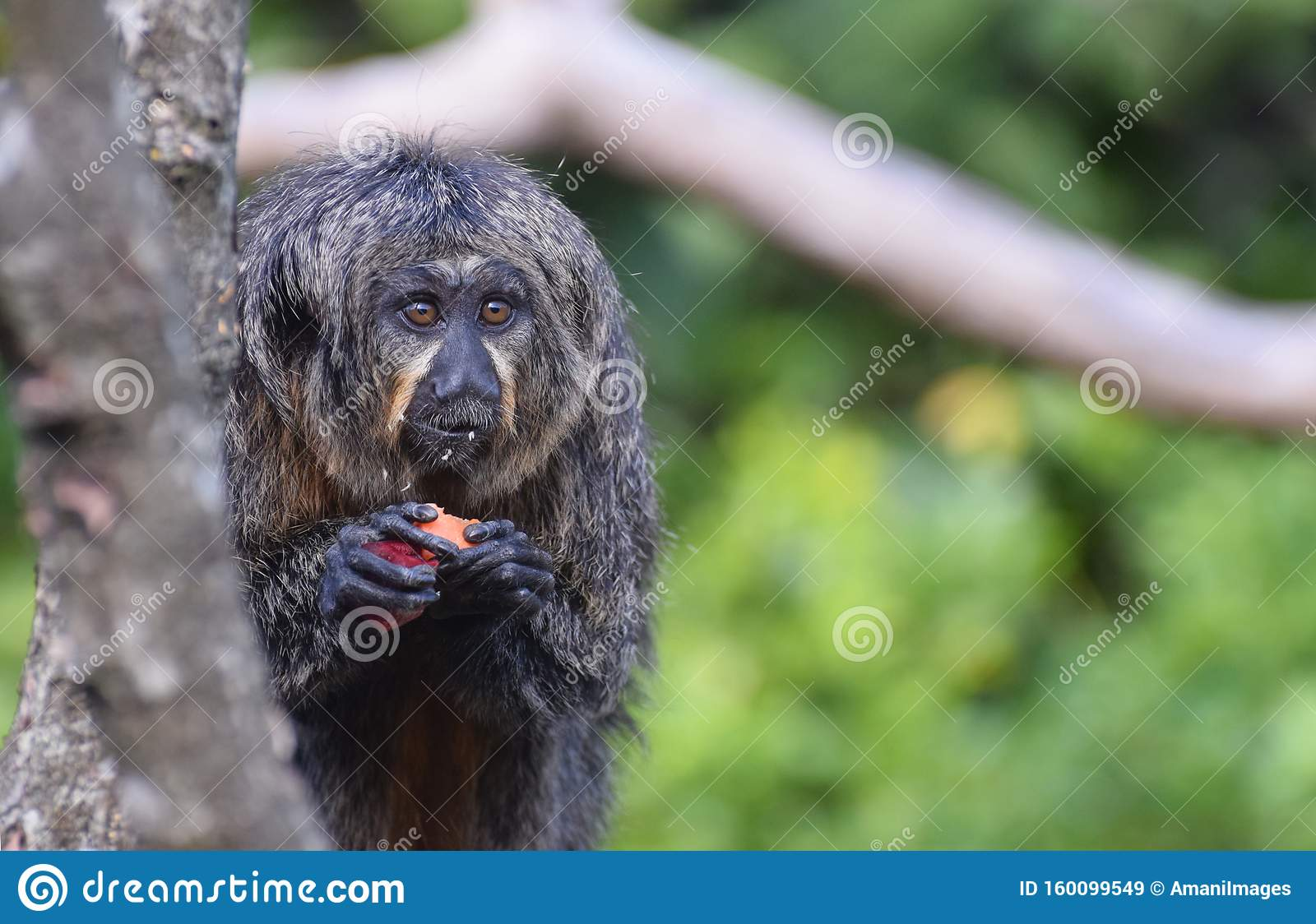 Female White Faced Saki Monkey