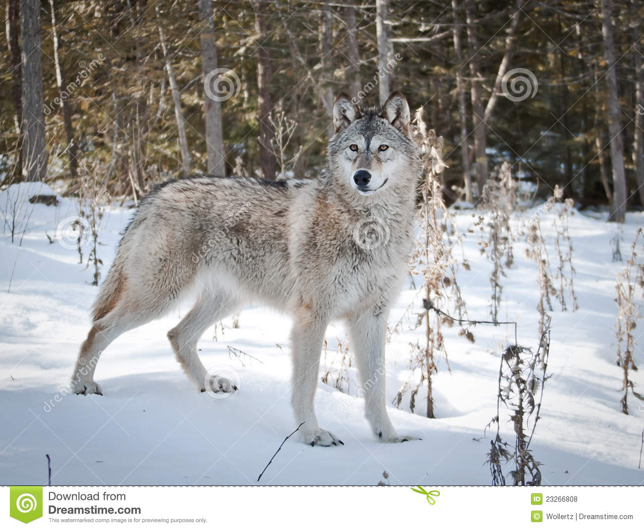 Female Wolf Royalty Free Stock Photos - Image: 23266808