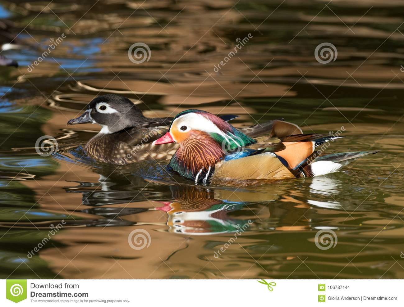 Download A Female Wood Duck And Male Mandarin Stock Photo
