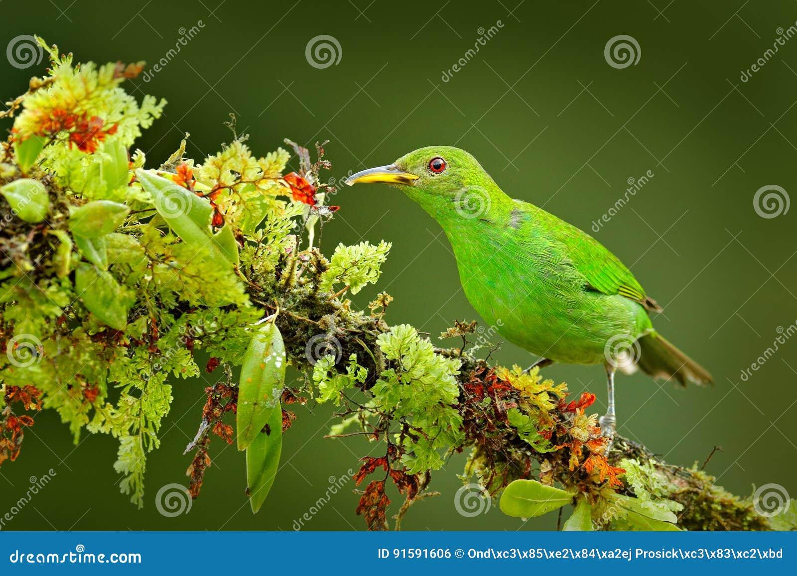 Femelle de spiza vert de Honeycreeper, de Chlorophanes, de forme verte et bleue Costa Rica de malachite tropicale exotique d oise