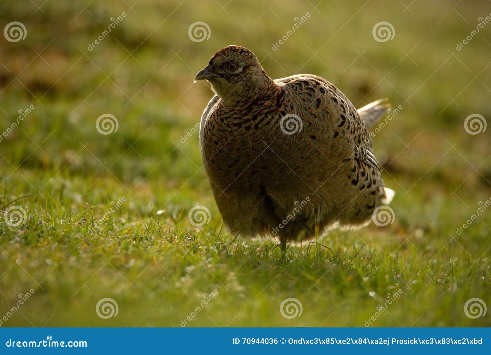 Femelle du faisan commun oiseau avec la longue queue sur for Oiseau commun