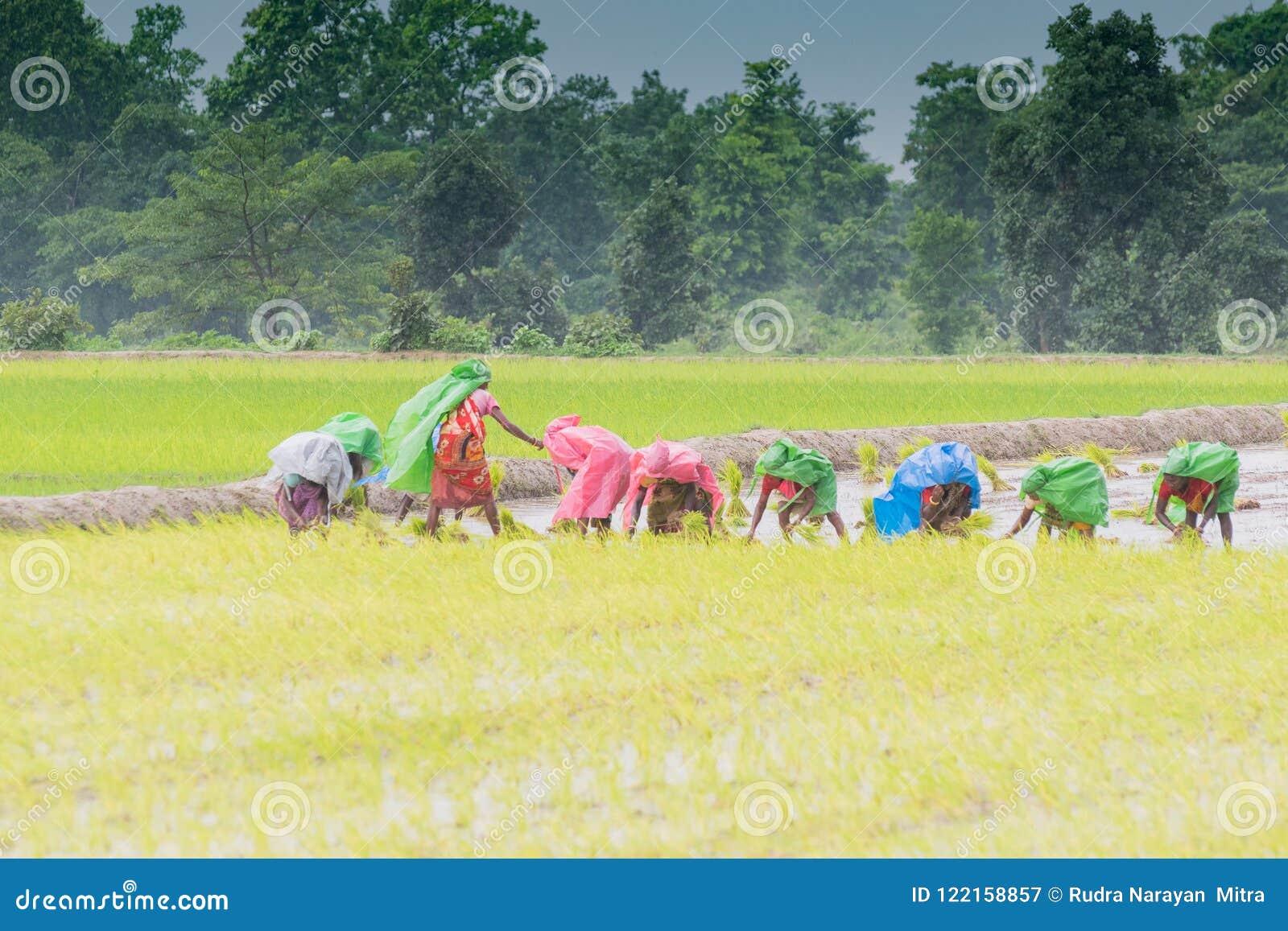 Femmes rurales indiennes cultivant le paddy