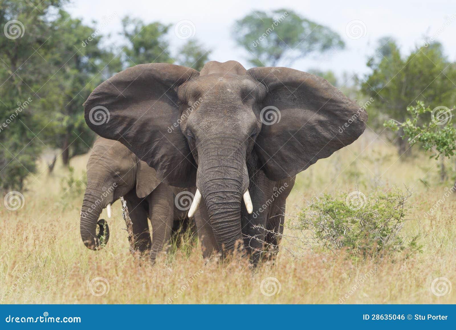 Femmina dell 39 elefante africano africana del loxodonta - Elefante foglio di colore dell elefante ...