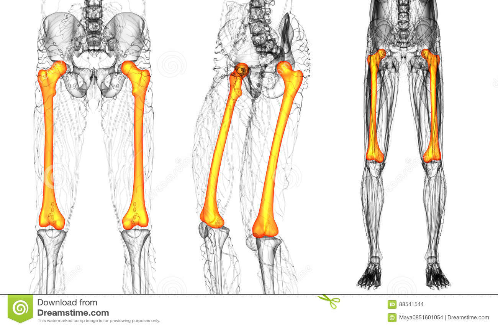 Femur bone