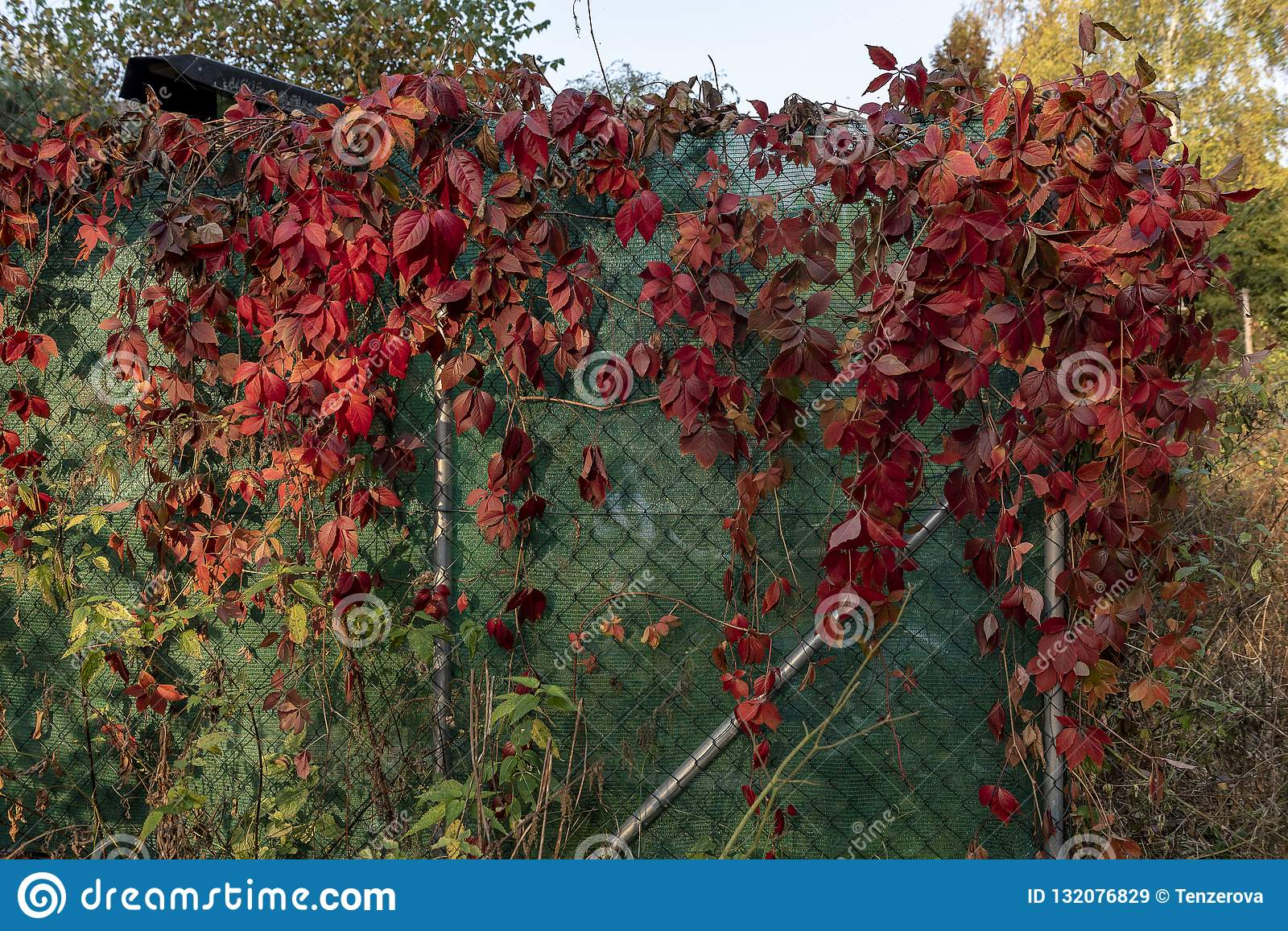Fence Garden Covered With Red Flowers Climbing Plants Stock Image