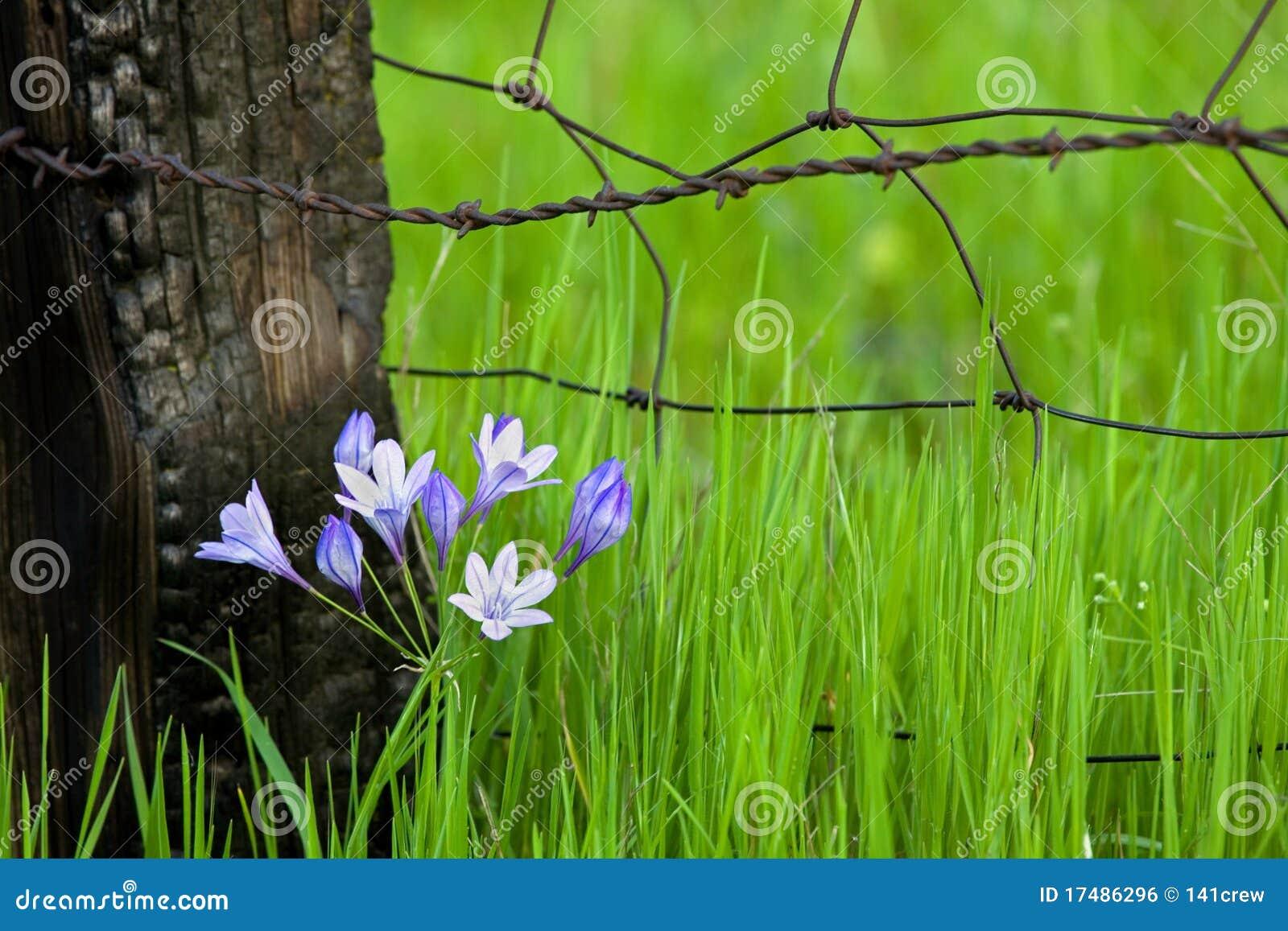 Fencepost λουλούδια