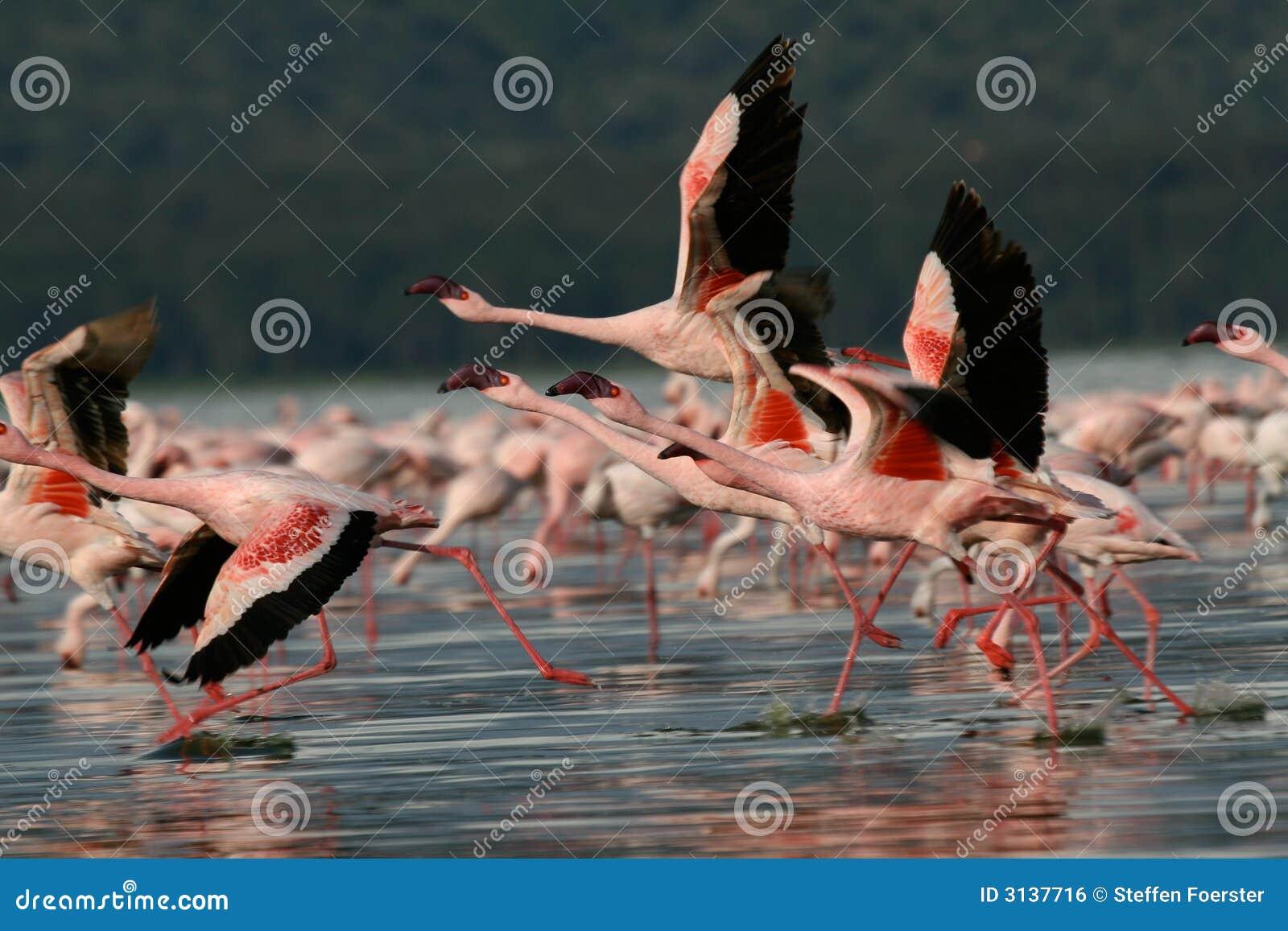 Fenicotteri che catturano volo