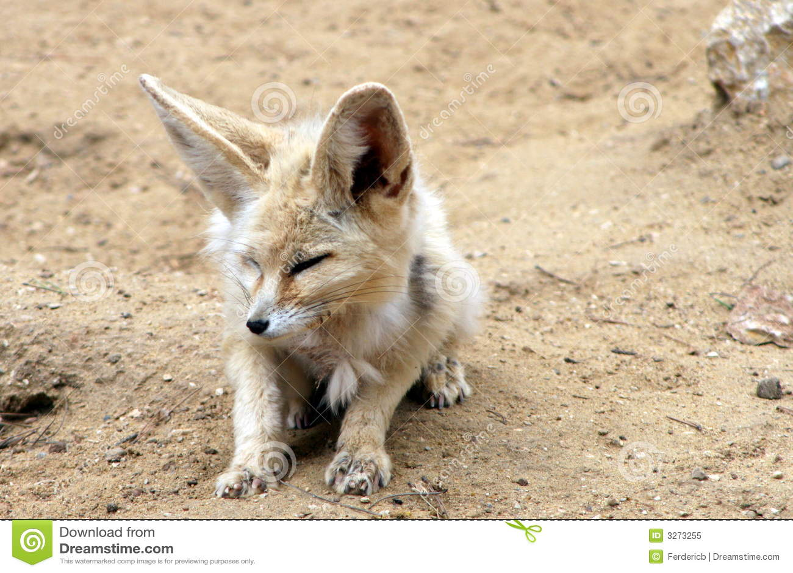 fennec fox stock image image of closeup small wild 3273255