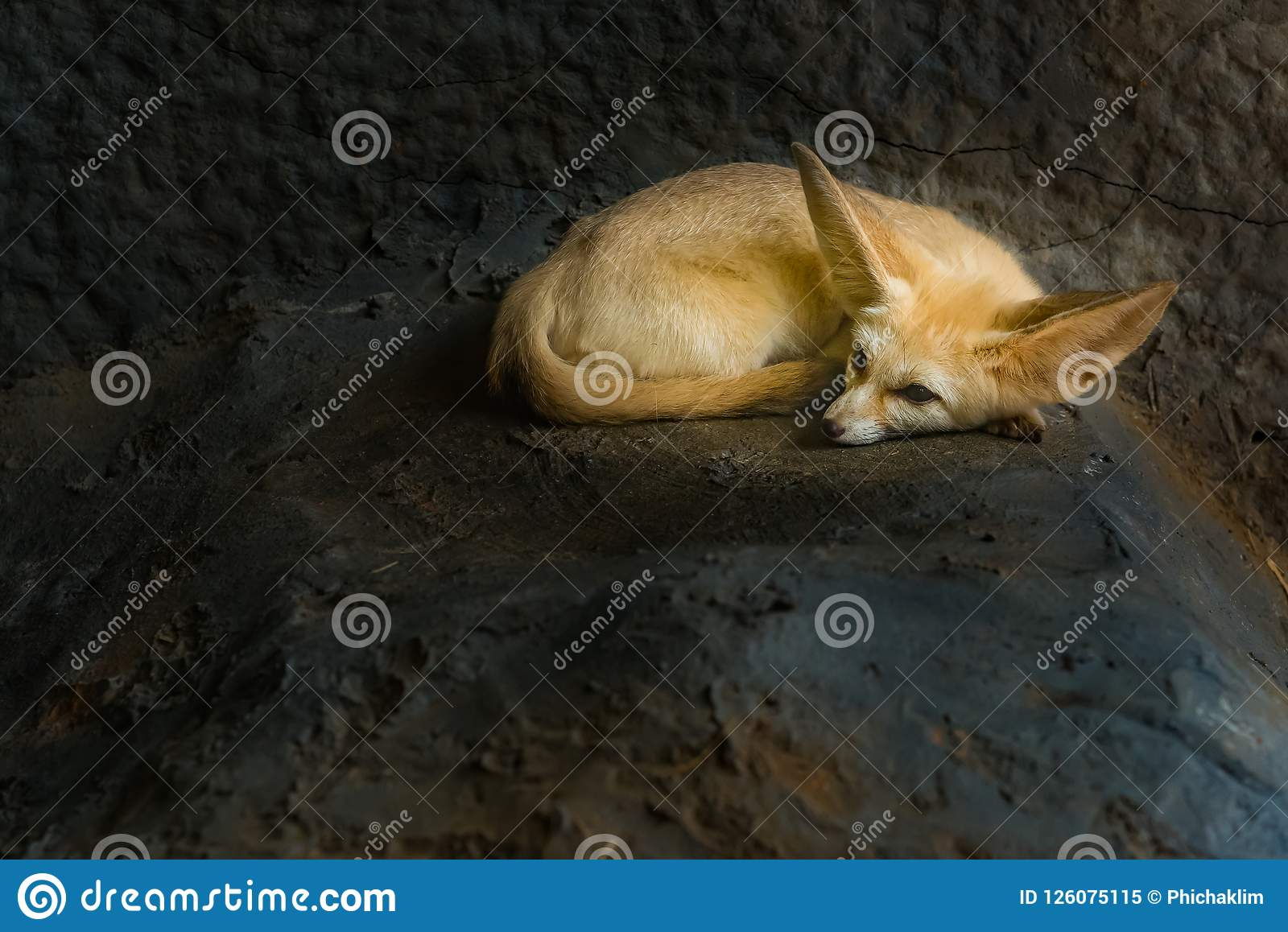 A Fennec fox is resting in a den