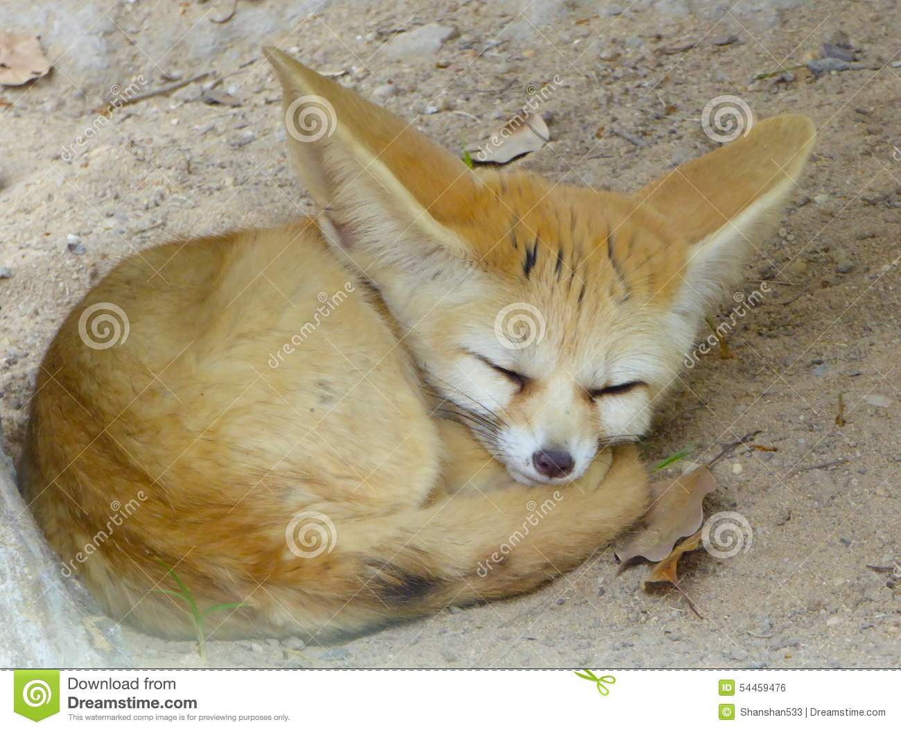A Fennec Fox Sleeping Stock Photo Image Of Cute Asian