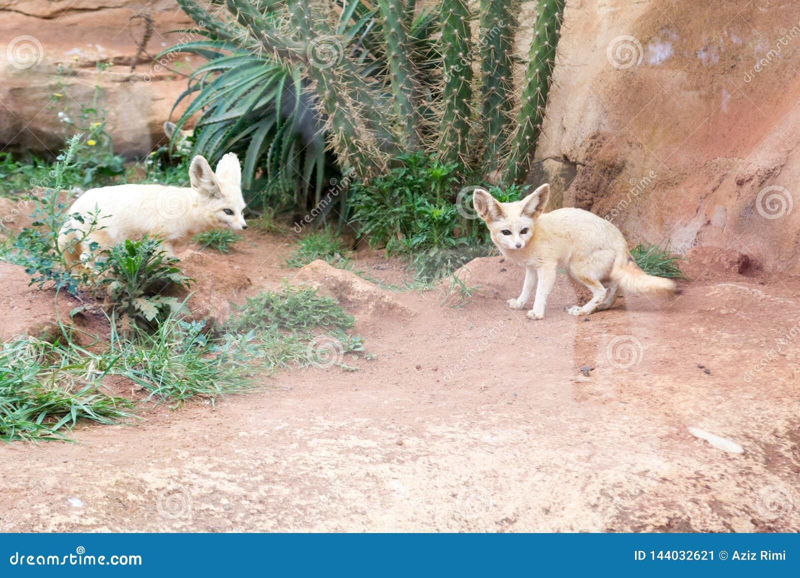 Fennec fox stock image  Image of mammals, female, living - 144032621