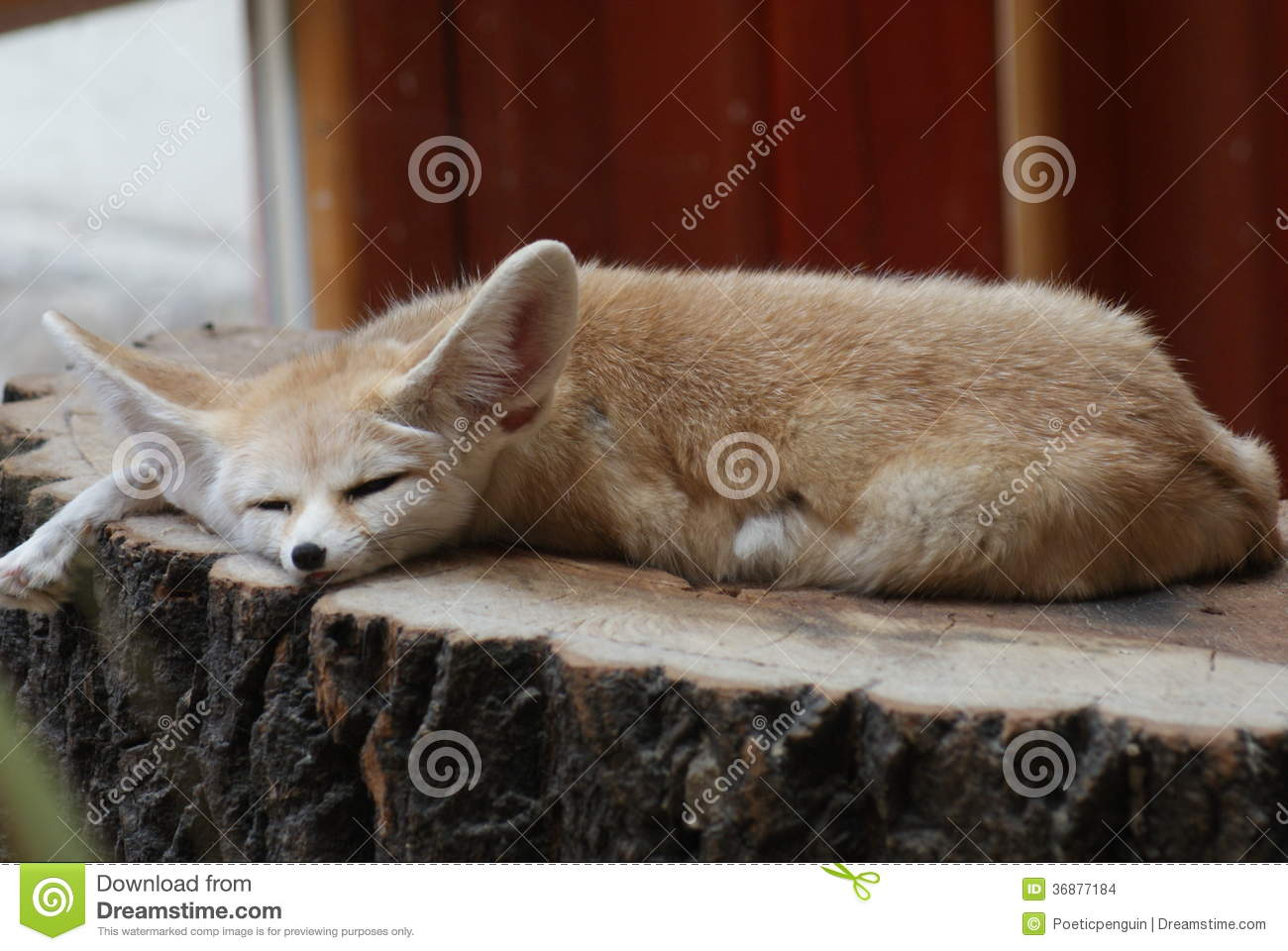 Download Fennec - zerda di vulpes fotografia stock. Immagine di piccolo - 36877184