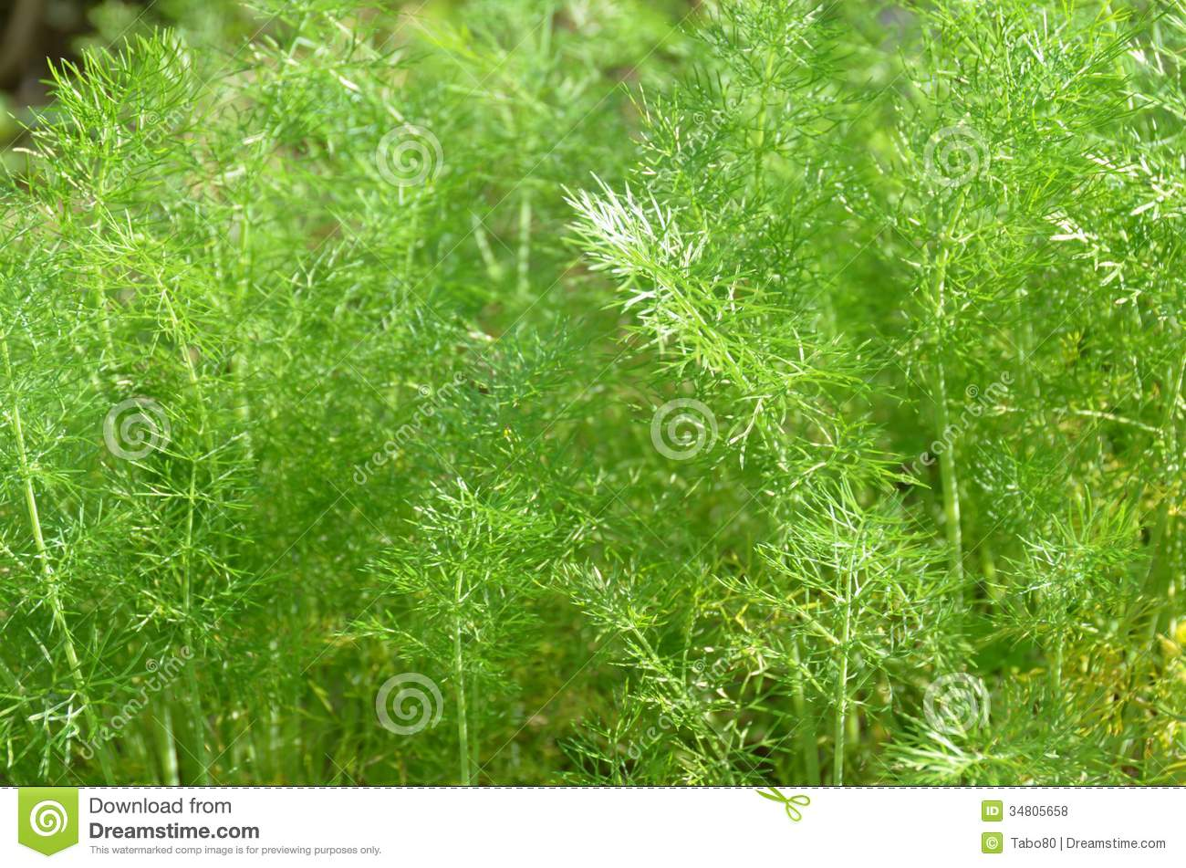 Fennel Leaves Royalty Free Stock Photos - Image: 34805658