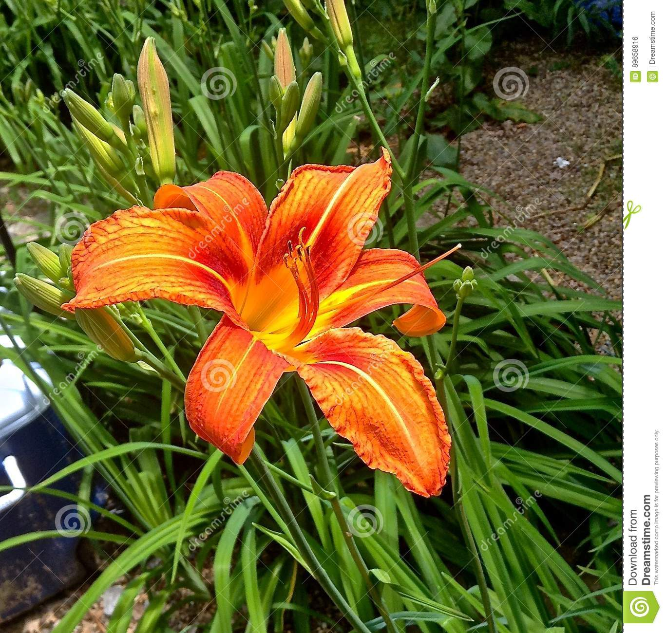 Dragon Lily Flower Stock Photos Royalty Free Pictures