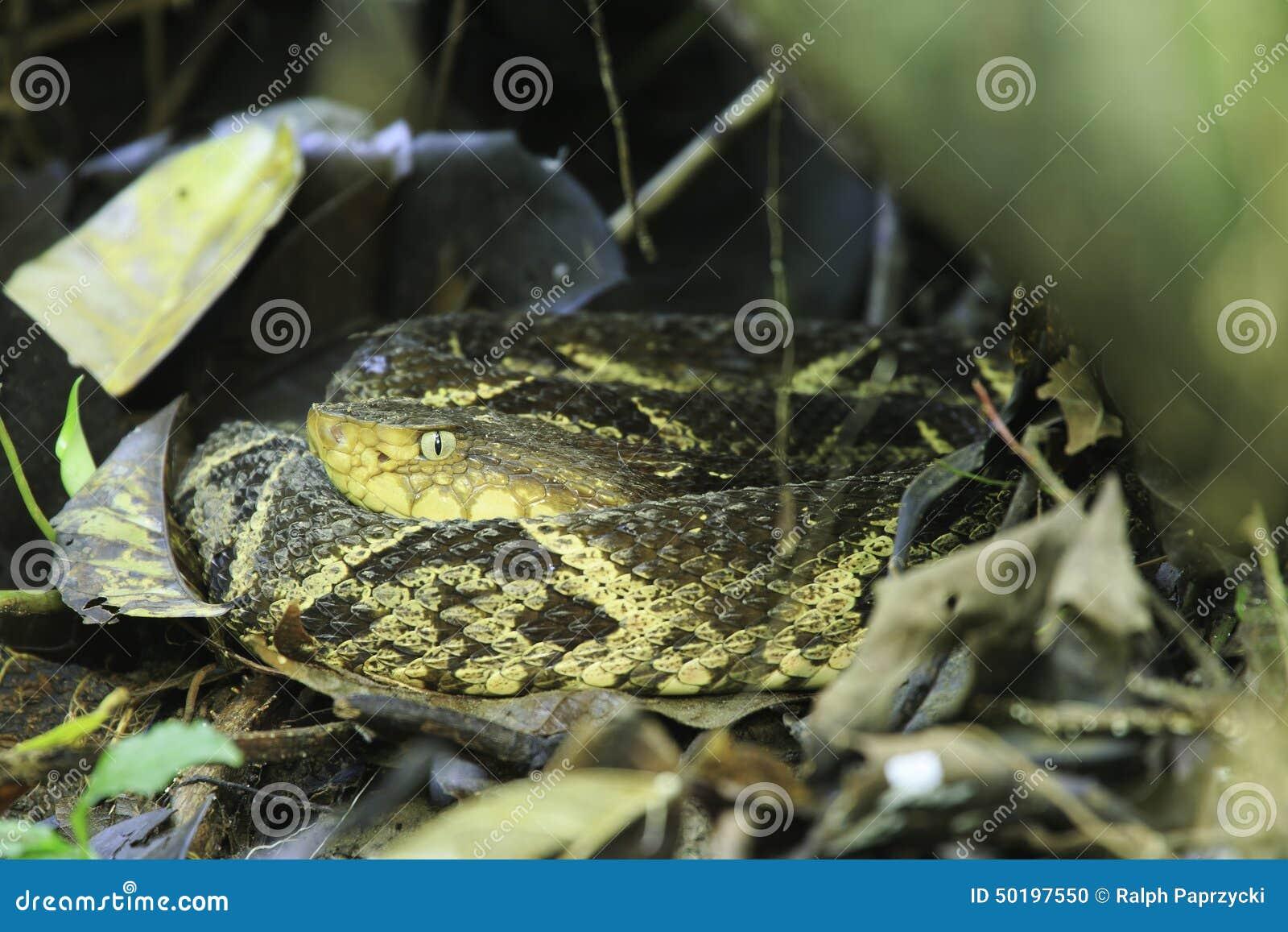 Fer de长矛(具窍蝮蛇属asper),哥斯达黎加