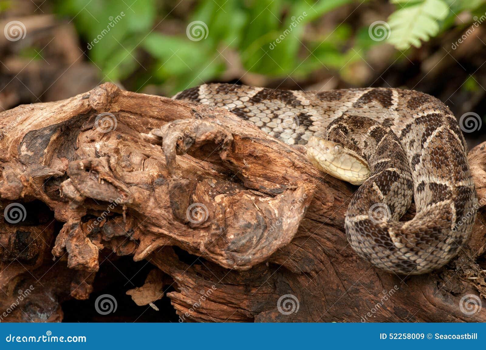 fer de lance costa rica venomous snake stock photo. Black Bedroom Furniture Sets. Home Design Ideas