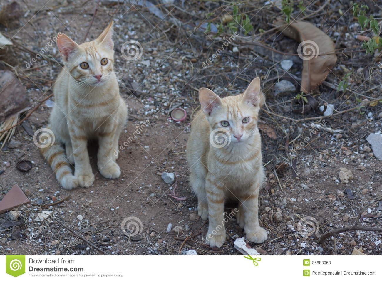 Download Feral Domestic Cat immagine stock. Immagine di nero, selva - 36883063