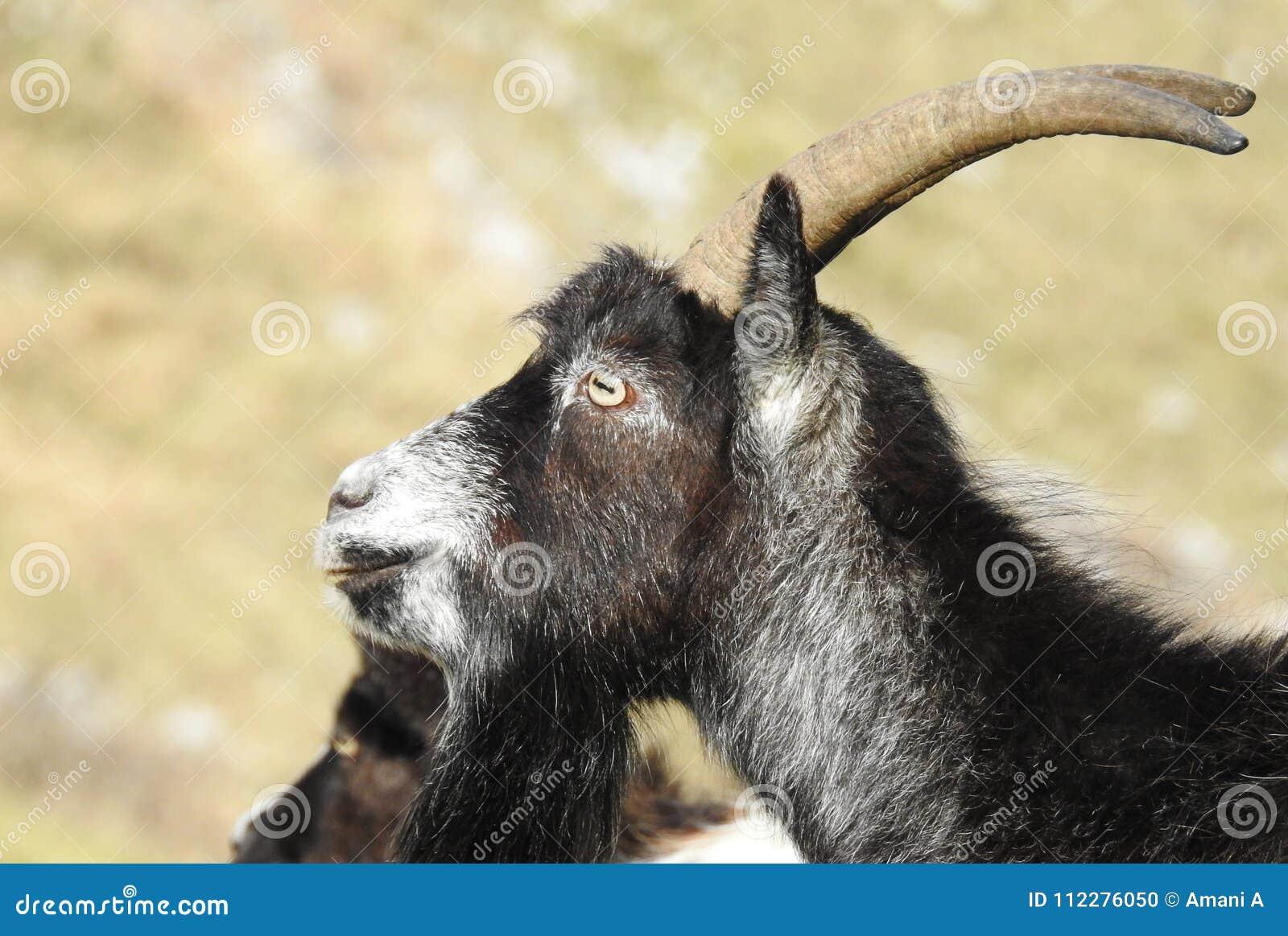 Feral Goats em Somerset England