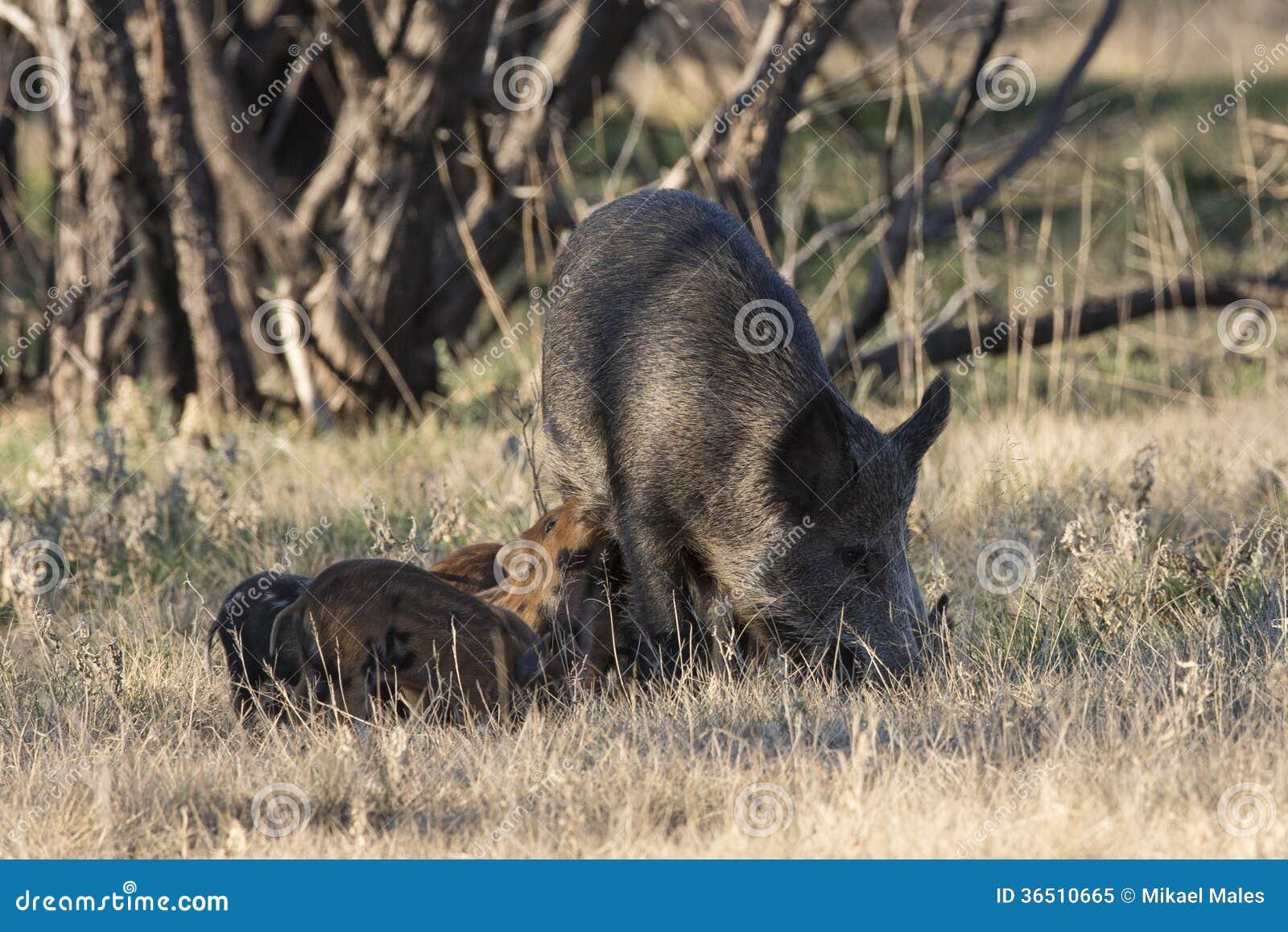 Feral Hogs et porcelets