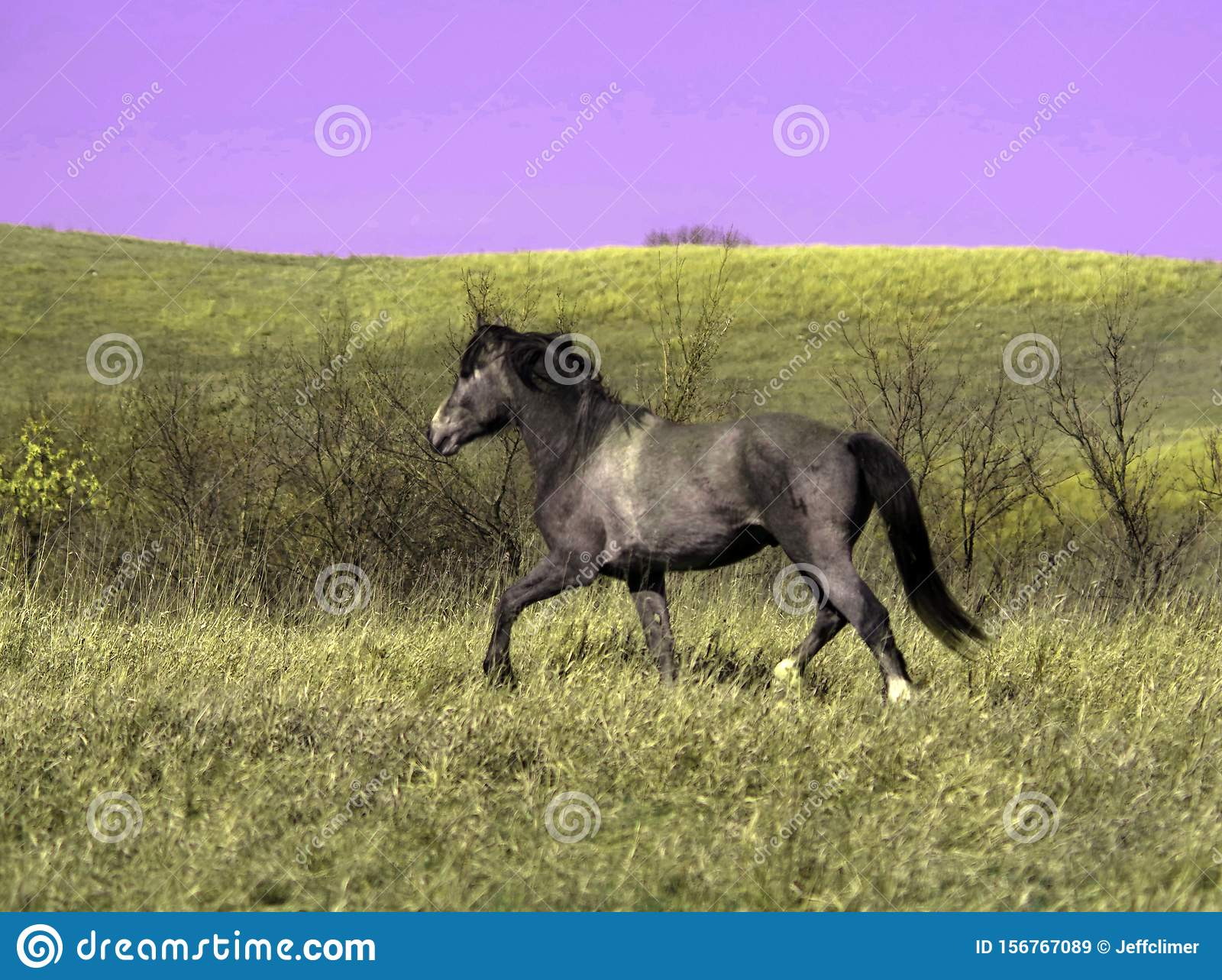 Feral stud horse running on the plains