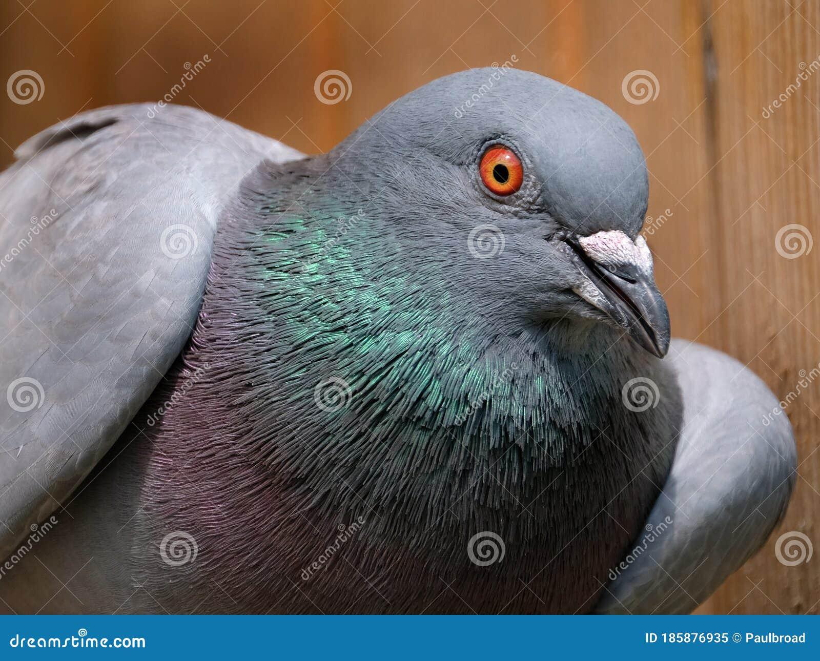 Feral Pigeon Resting In Bright Sun In Urban House Garden ...