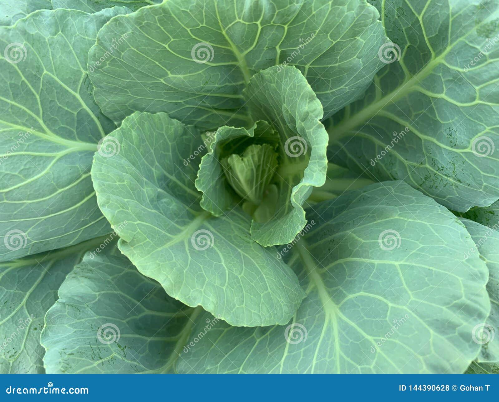 Fermé vers le haut de l image des feuilles du chou frisé, brassica oleracea, Chinois Broccol