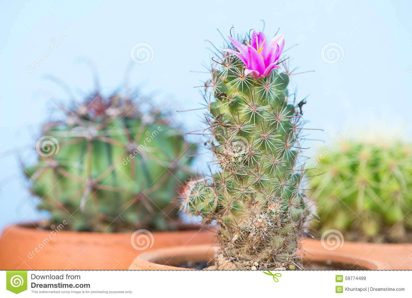 Ferme Vers Le Haut Du Cactus Avec La Fleur Rose Image Stock Image