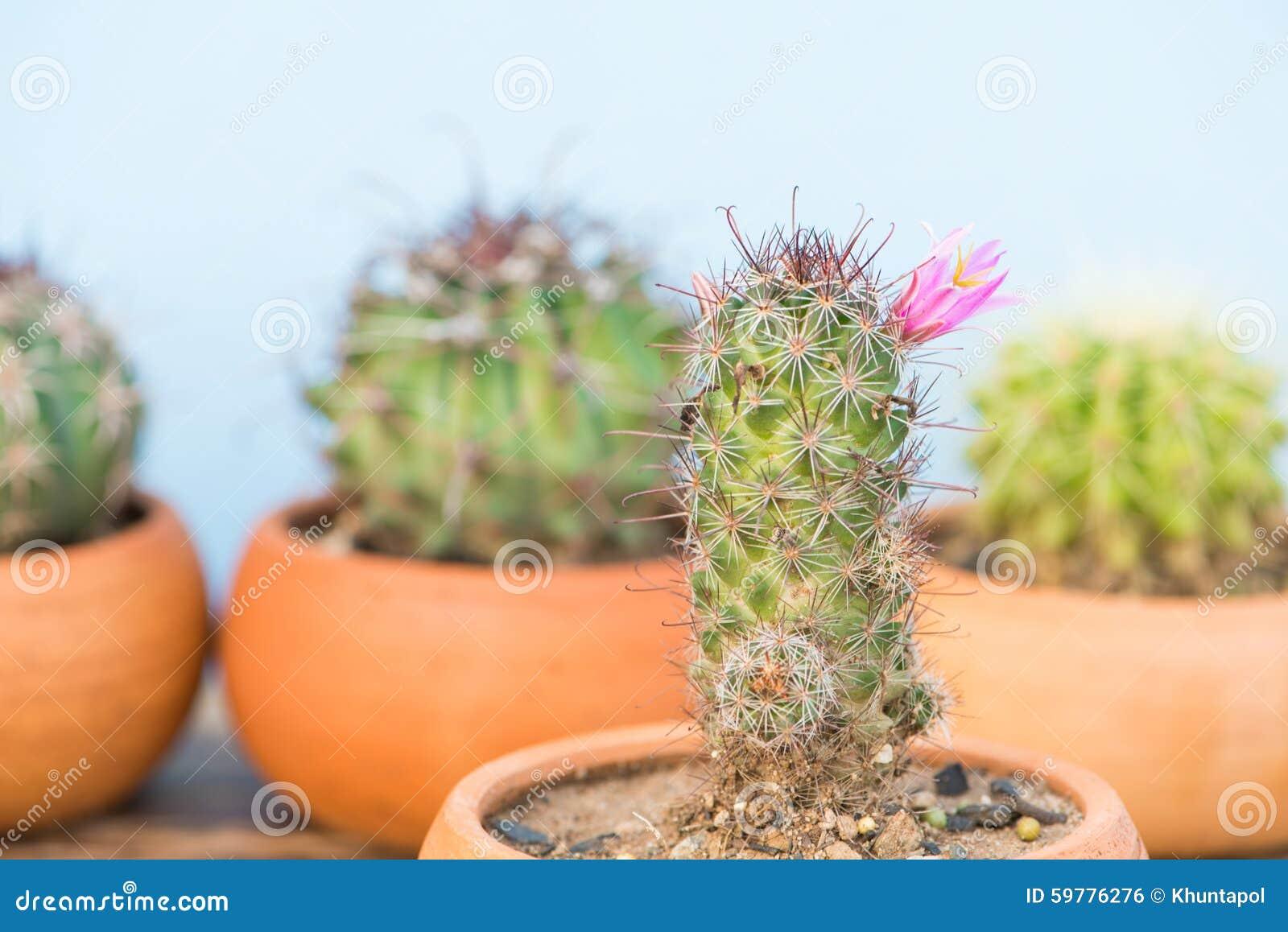 Ferme Vers Le Haut Du Cactus Avec La Fleur Rose Photo Stock Image