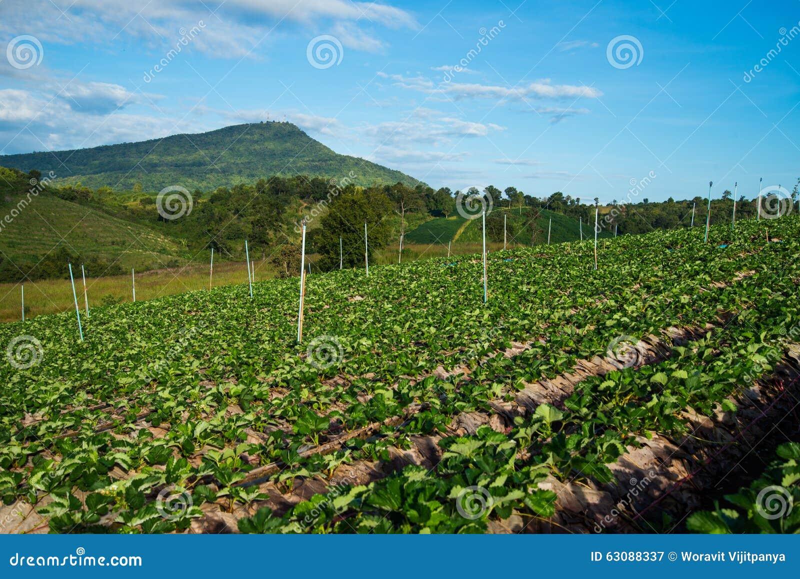 Download Ferme de fraises image stock. Image du local, montagnes - 63088337