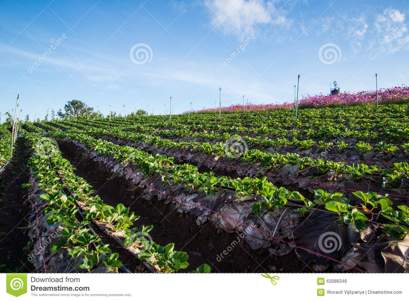 Download Ferme de fraises photo stock. Image du horizontal, jardin - 63088346