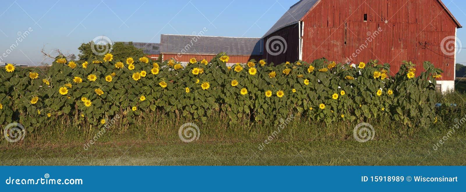 Ferme de grange de panorama de jardin de tournesol panoramique