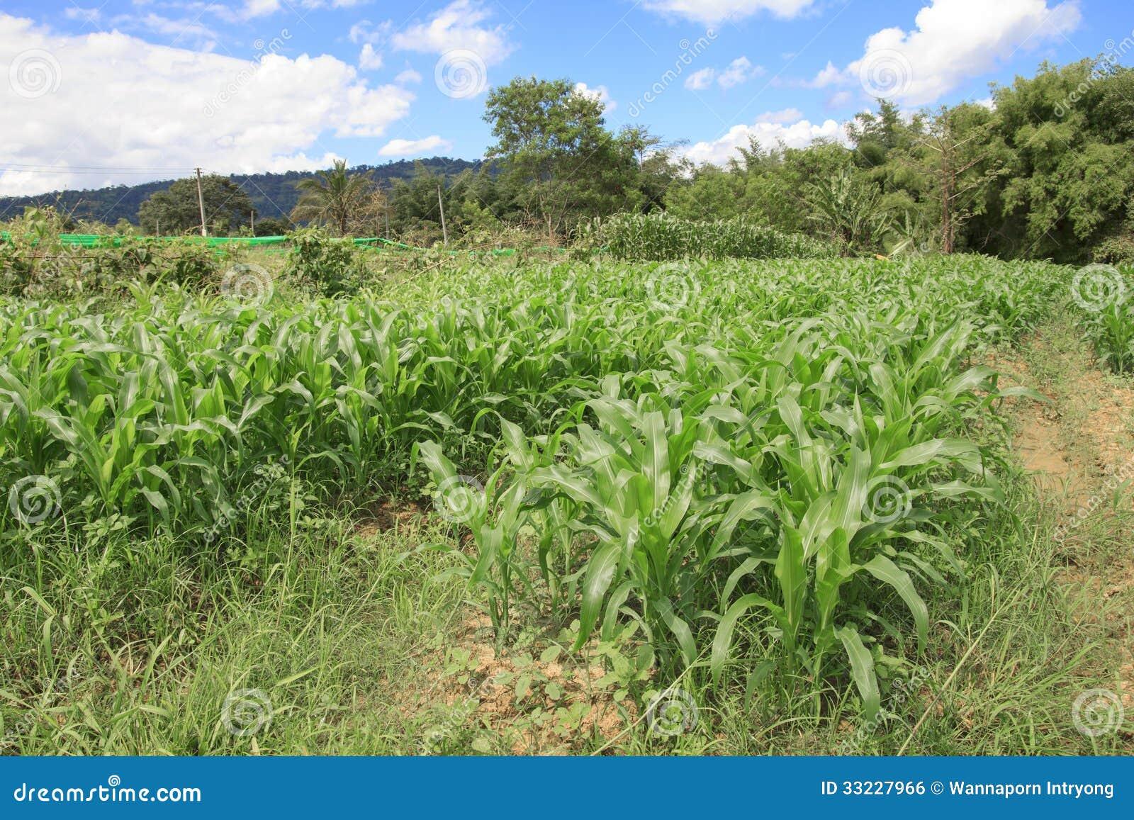 Ferme de maïs