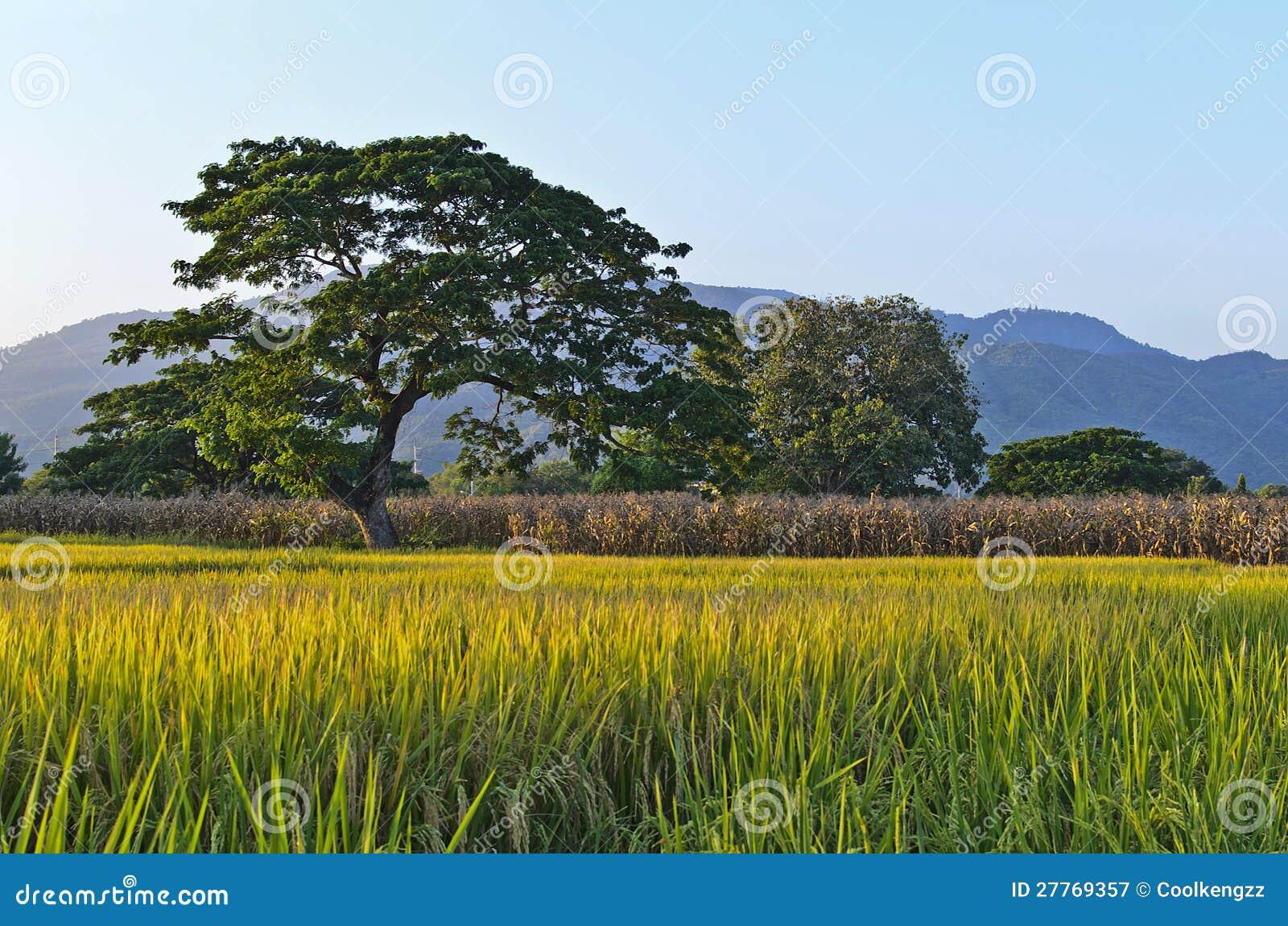 Ferme de riz avec le fond de montagne (Lanscape)