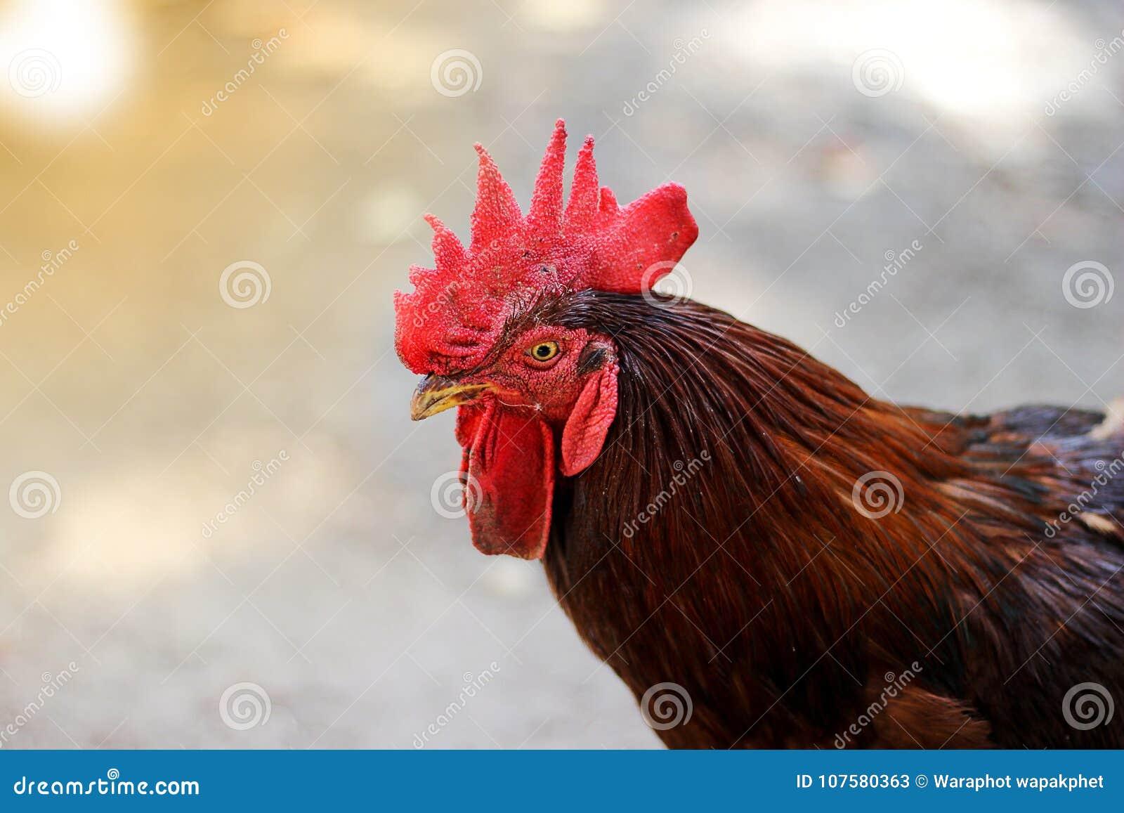 Fermes de poulet en gros plan de concept de tir de coq